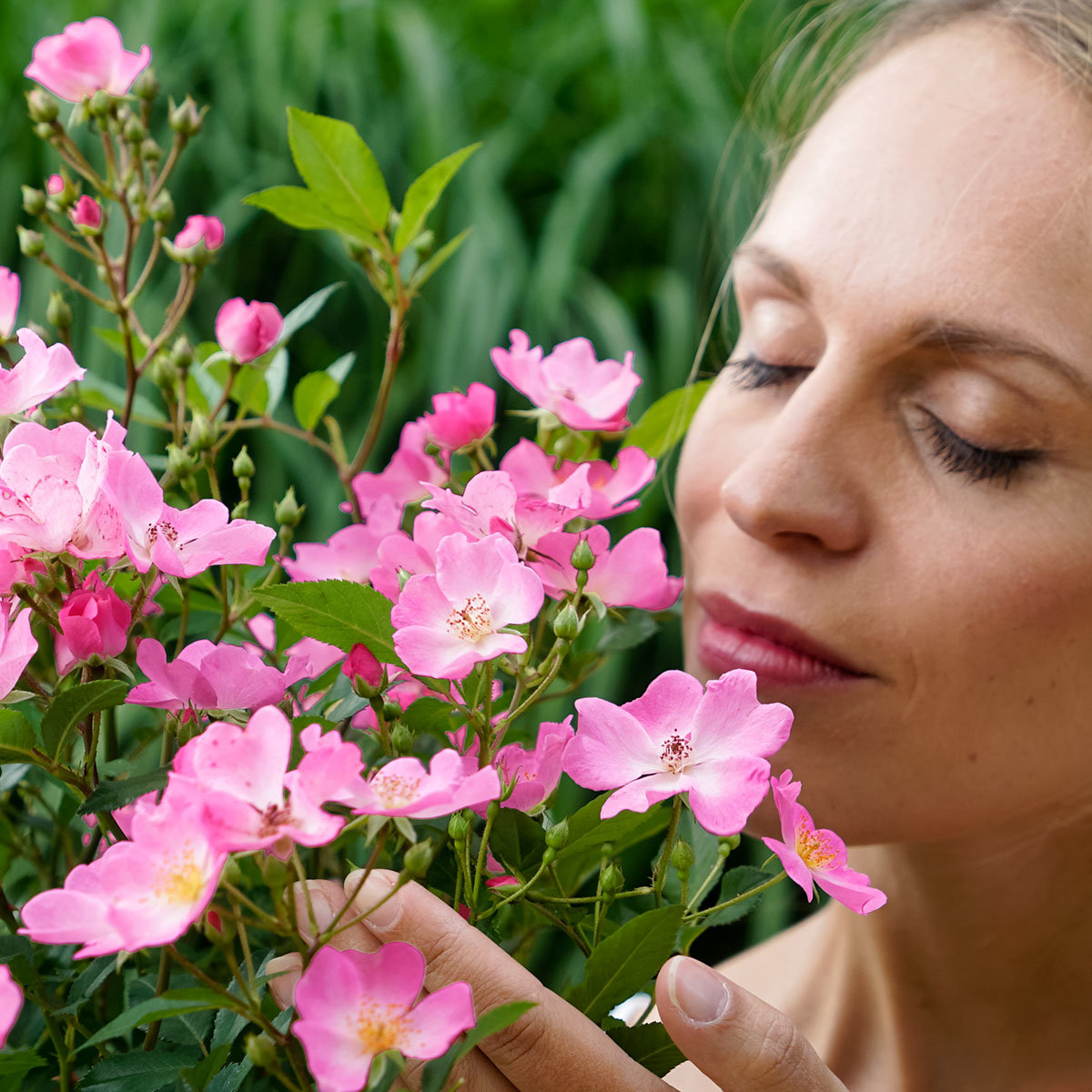Phlox-Rose Rosy Boom®, pink, XL-Qualität | #3