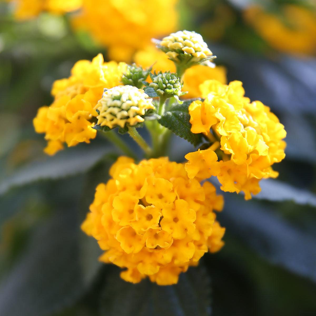 Wandelröschen-Stamm, gelb, im ca. 19 cm-Topf | #3