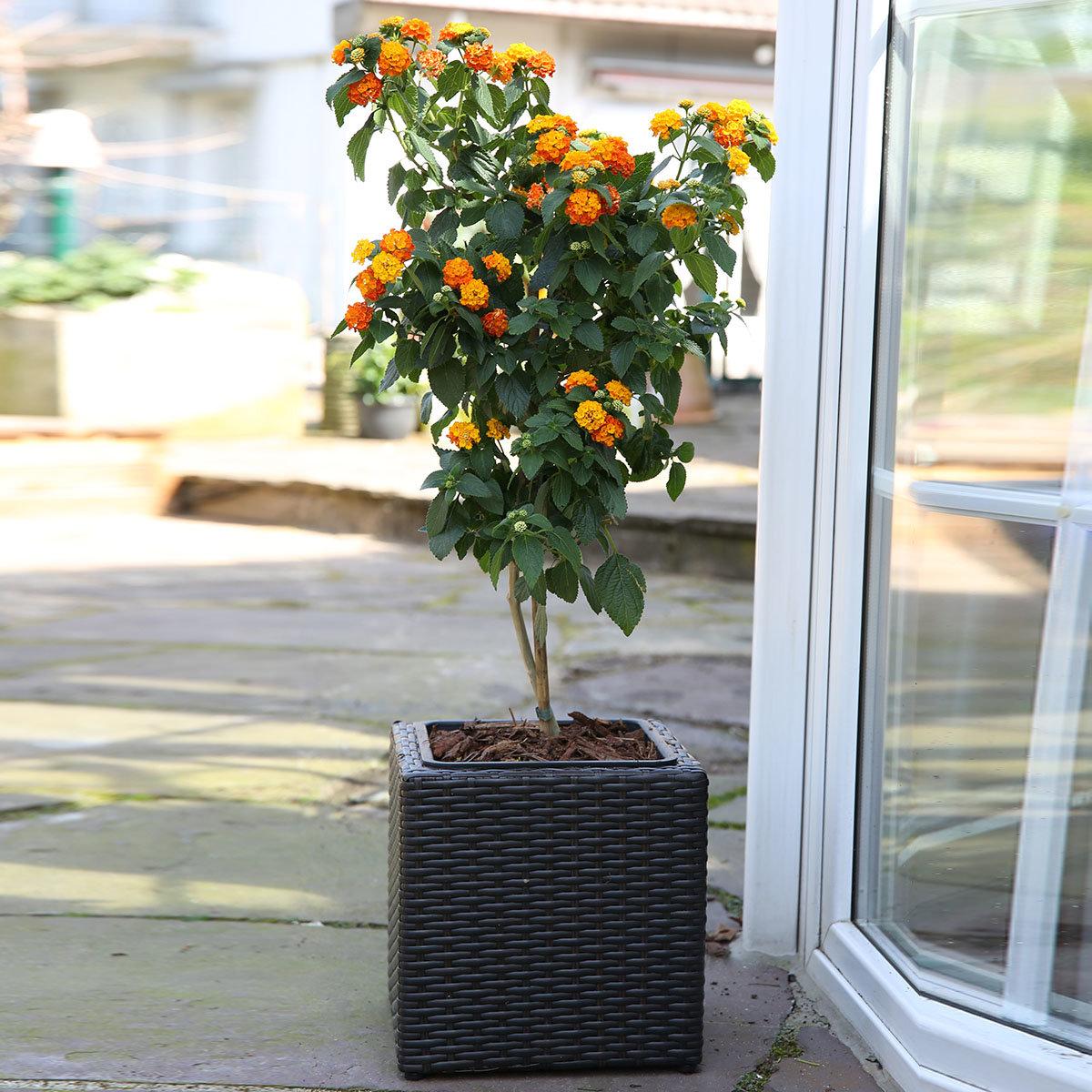 Wandelröschen-Stamm, orange, im ca. 19 cm-Topf | #3
