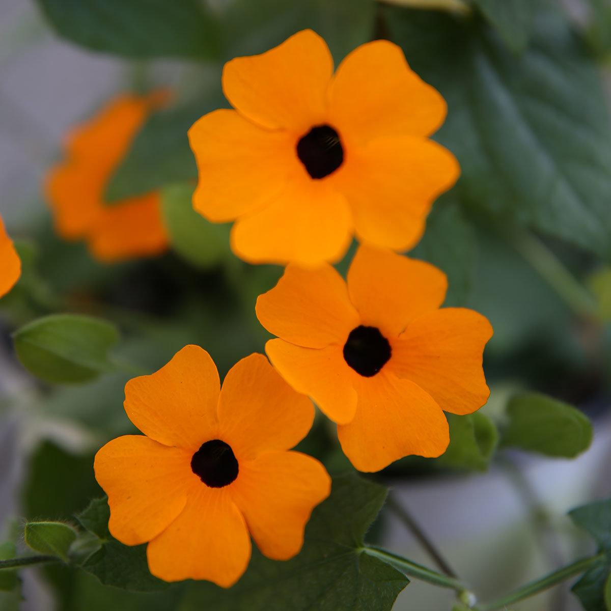 Schwarzäugige Susanne, orange, im ca. 17 cm-Topf | #3