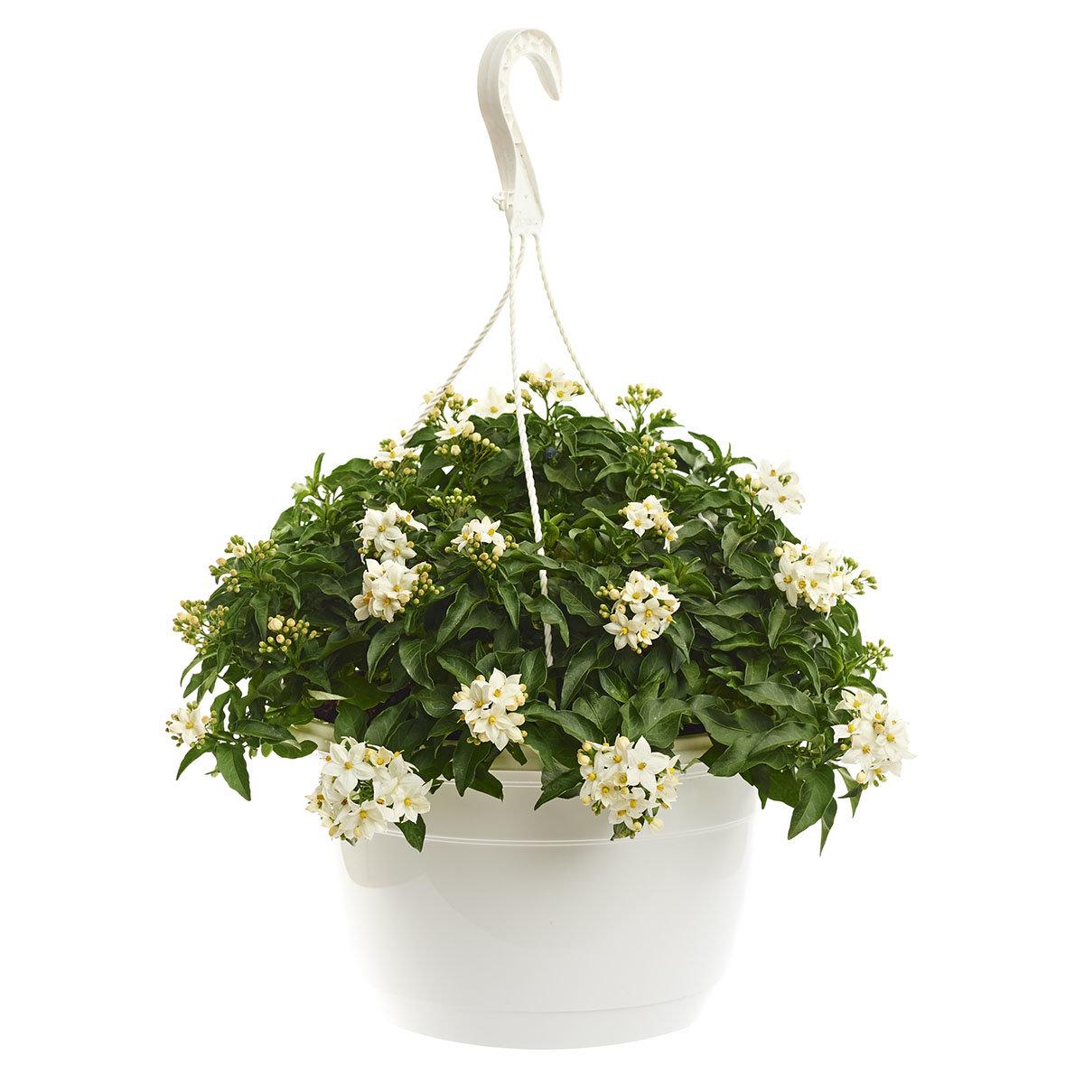 Sommer-Jasmin-Ampel, weiß, XL-Qualität | #3