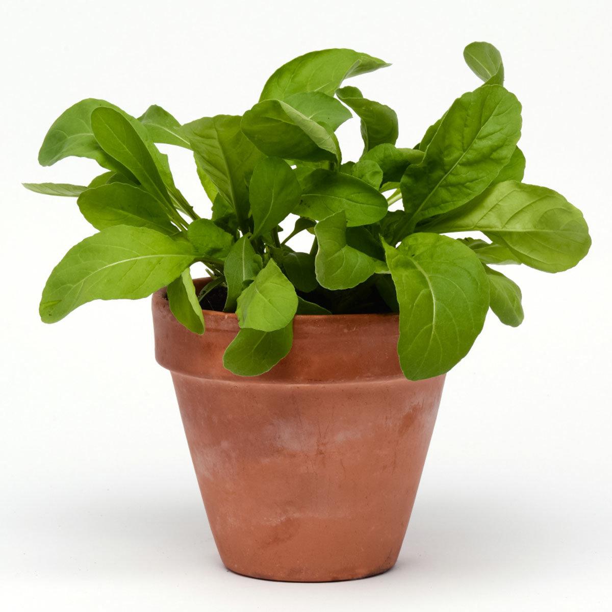 Rucolasamen Simply Salad Arugula, Multi-Pellets | #3