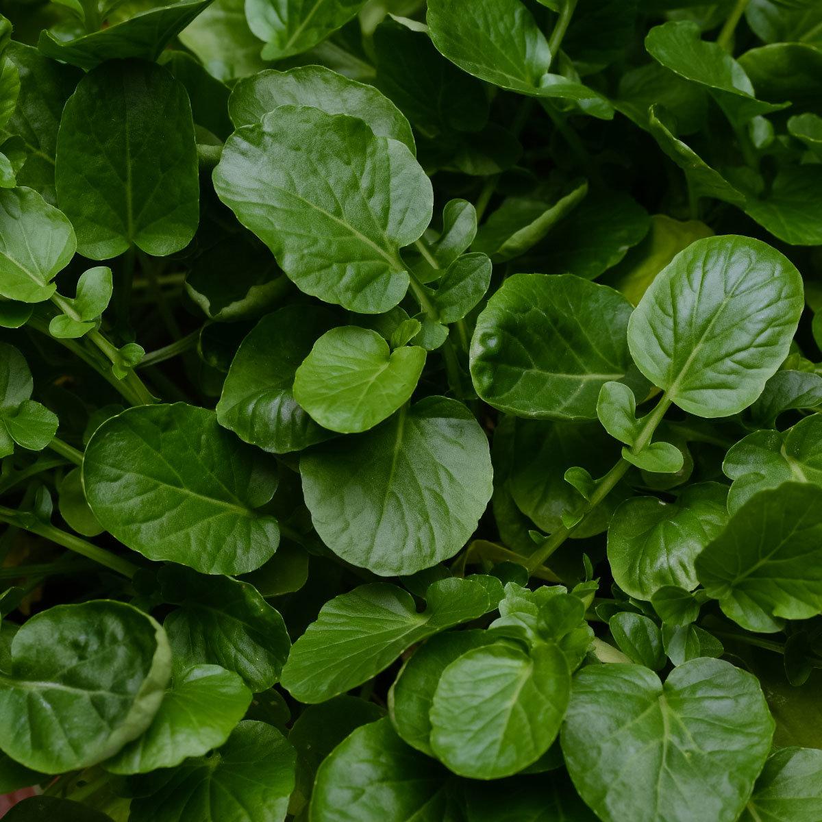 Landkressesamen Simply Salad Cress, Multi-Pellets | #3
