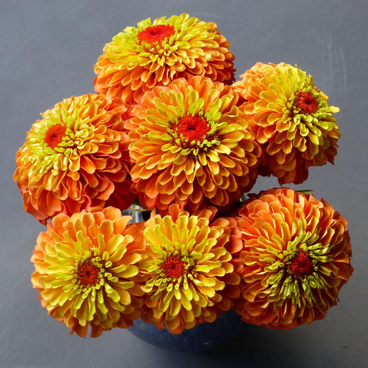 Zinniensamen Queeny Lime Orange   #3