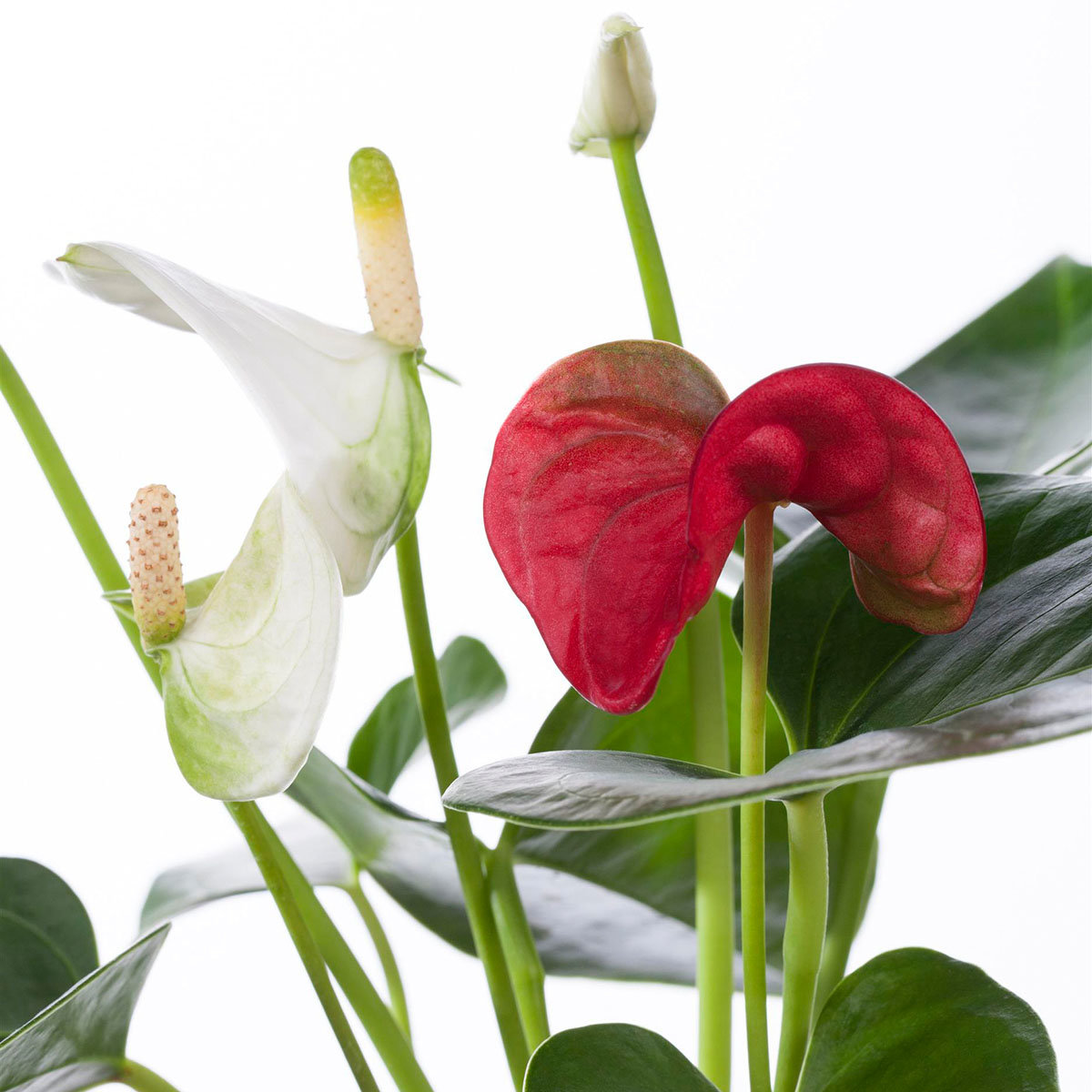 Zwillings-Flamingoblume, weiß und rot, im ca. 12 cm-Topf   #3