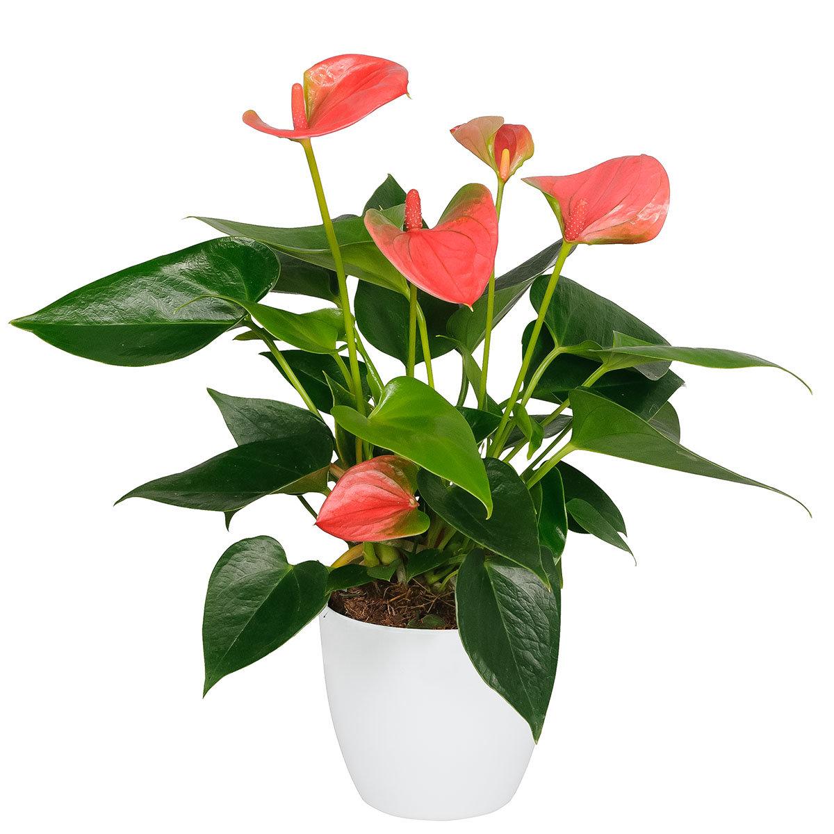 Premium Pinke Flamingoblume, im ca. 14 cm-Topf | #3