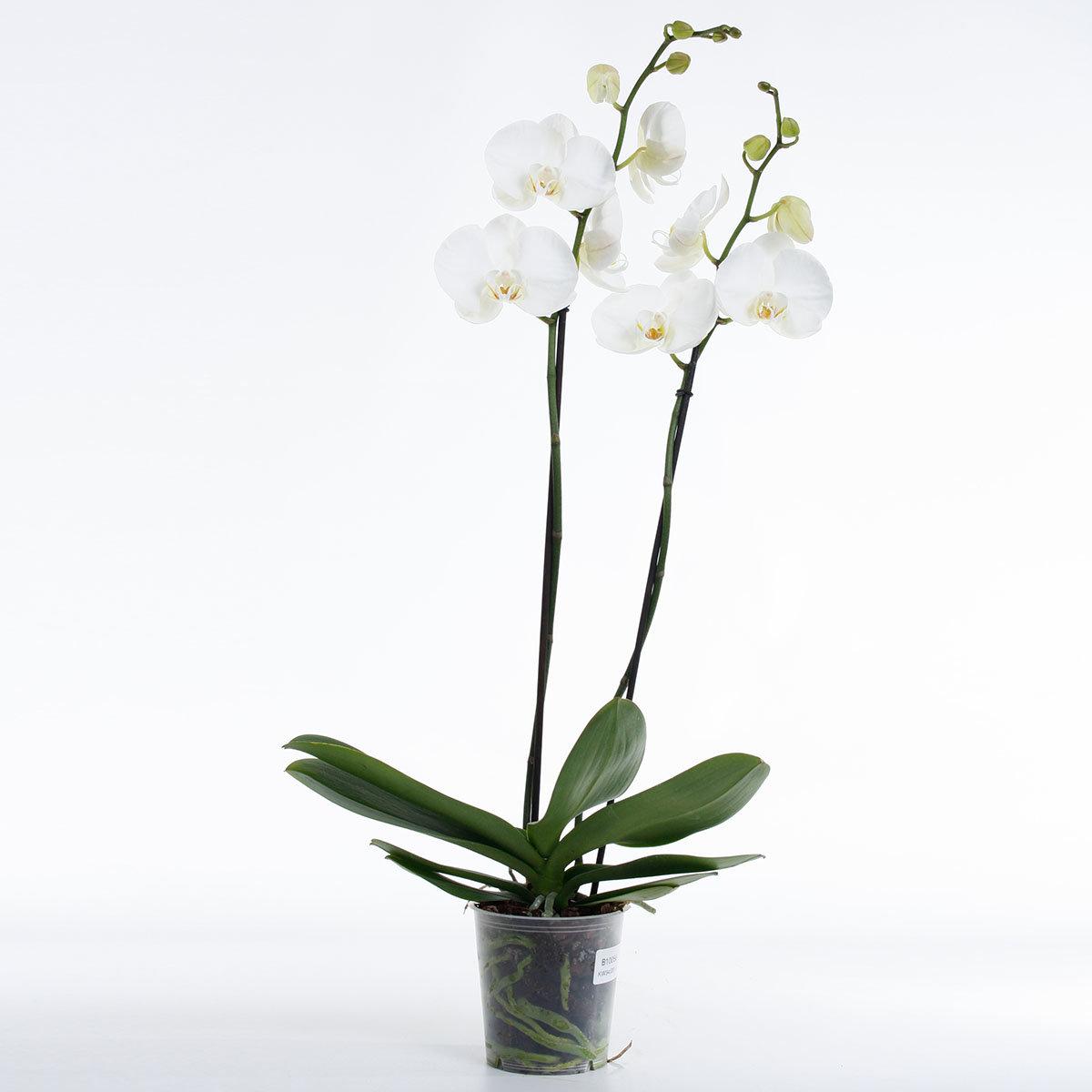 Weiße Schmetterlings-Orchidee   #3
