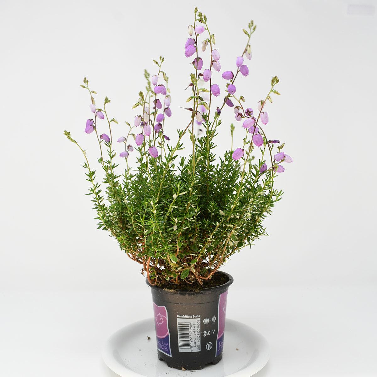 Irische Glockenheide, violett | #3
