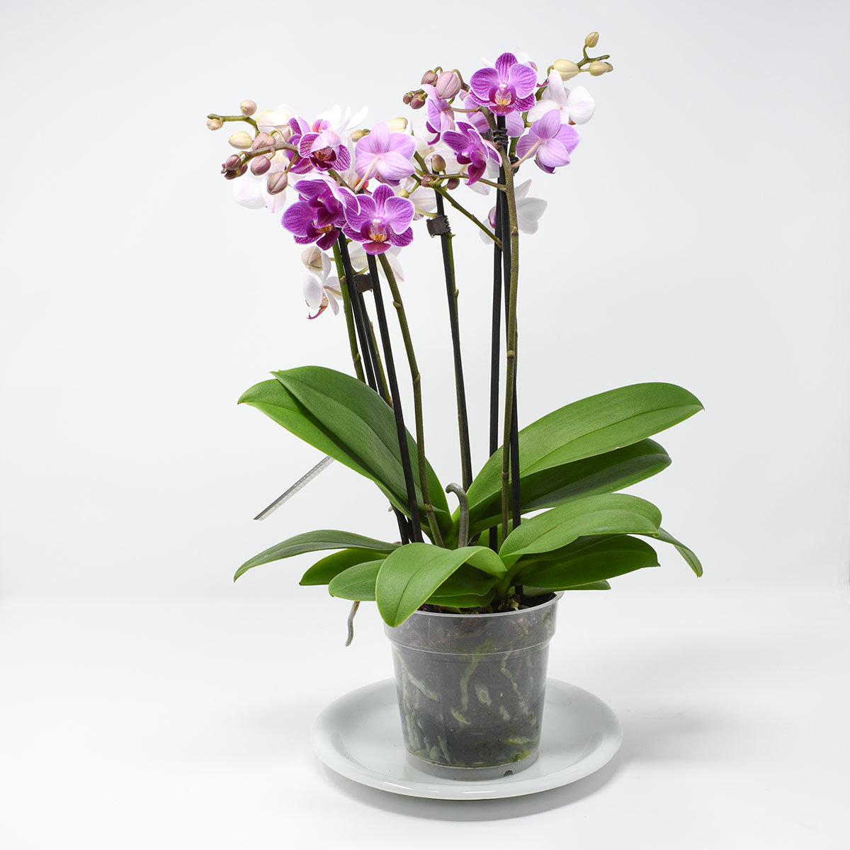 Schmetterlings- Orchidee Twin, im ca. 12 cm-Topf | #3