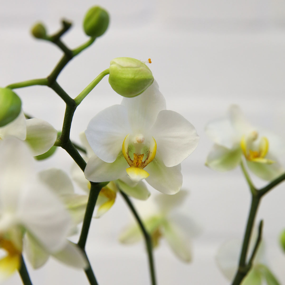Schmetterlings-Orchidee Lausanne, mehrtriebig, ungestäbt, im ca. 12 cm-Topf   #3