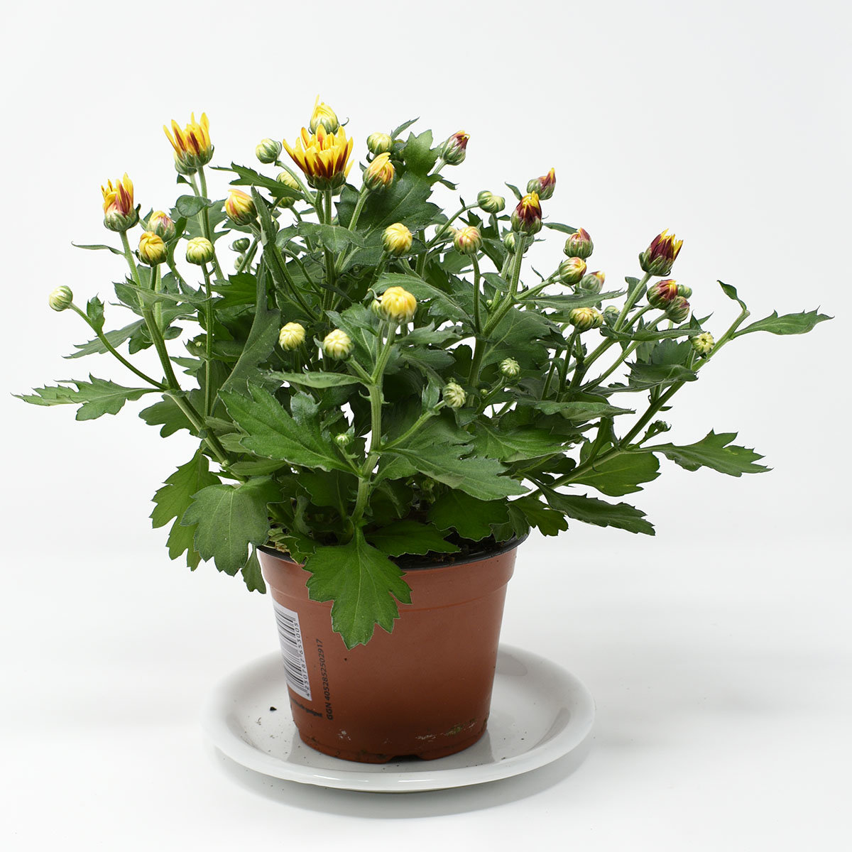 Gelbe Chrysantheme Melodie Vulcano | #3