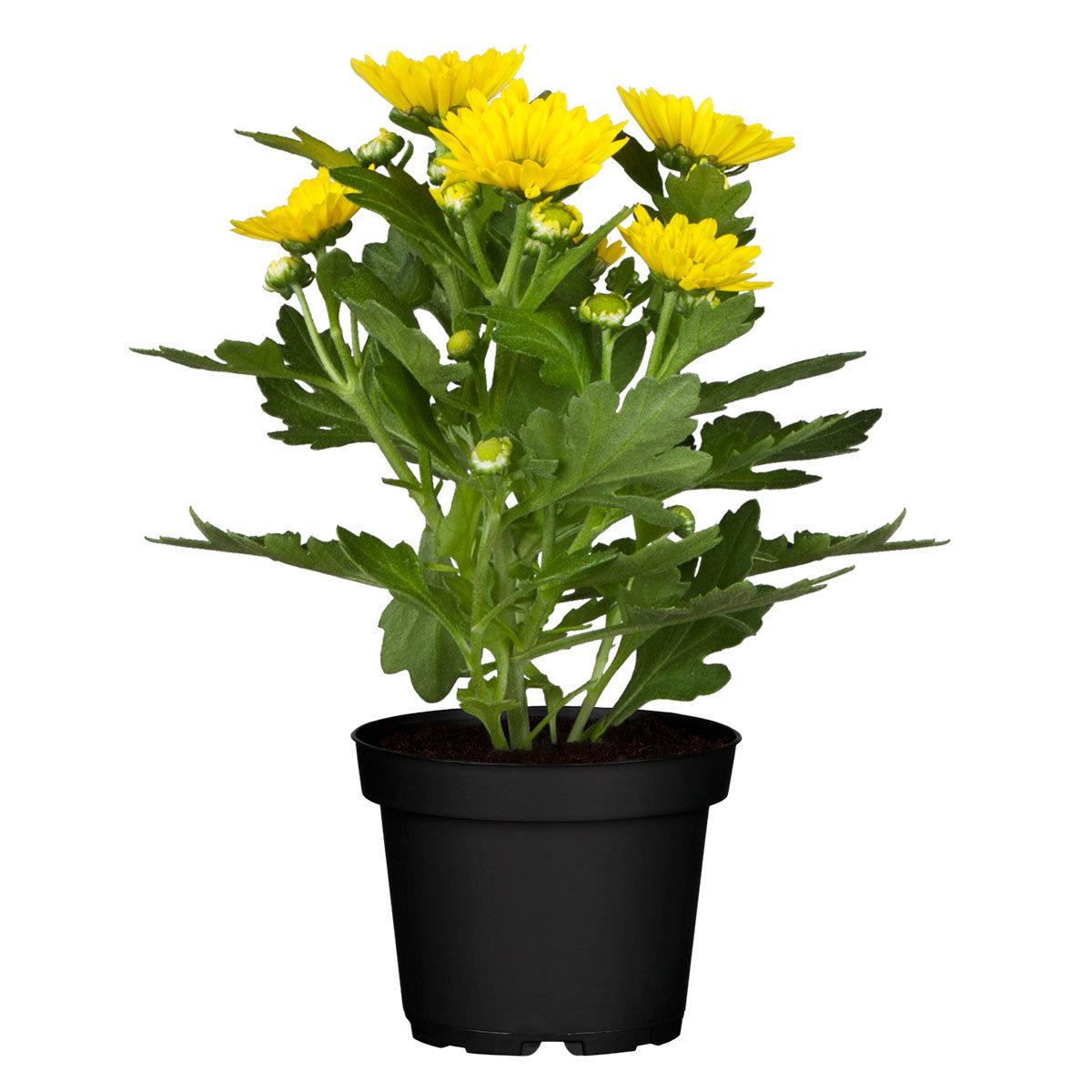 Herbst-Chrysantheme, gelb, im ca. 11 cm-Topf | #3
