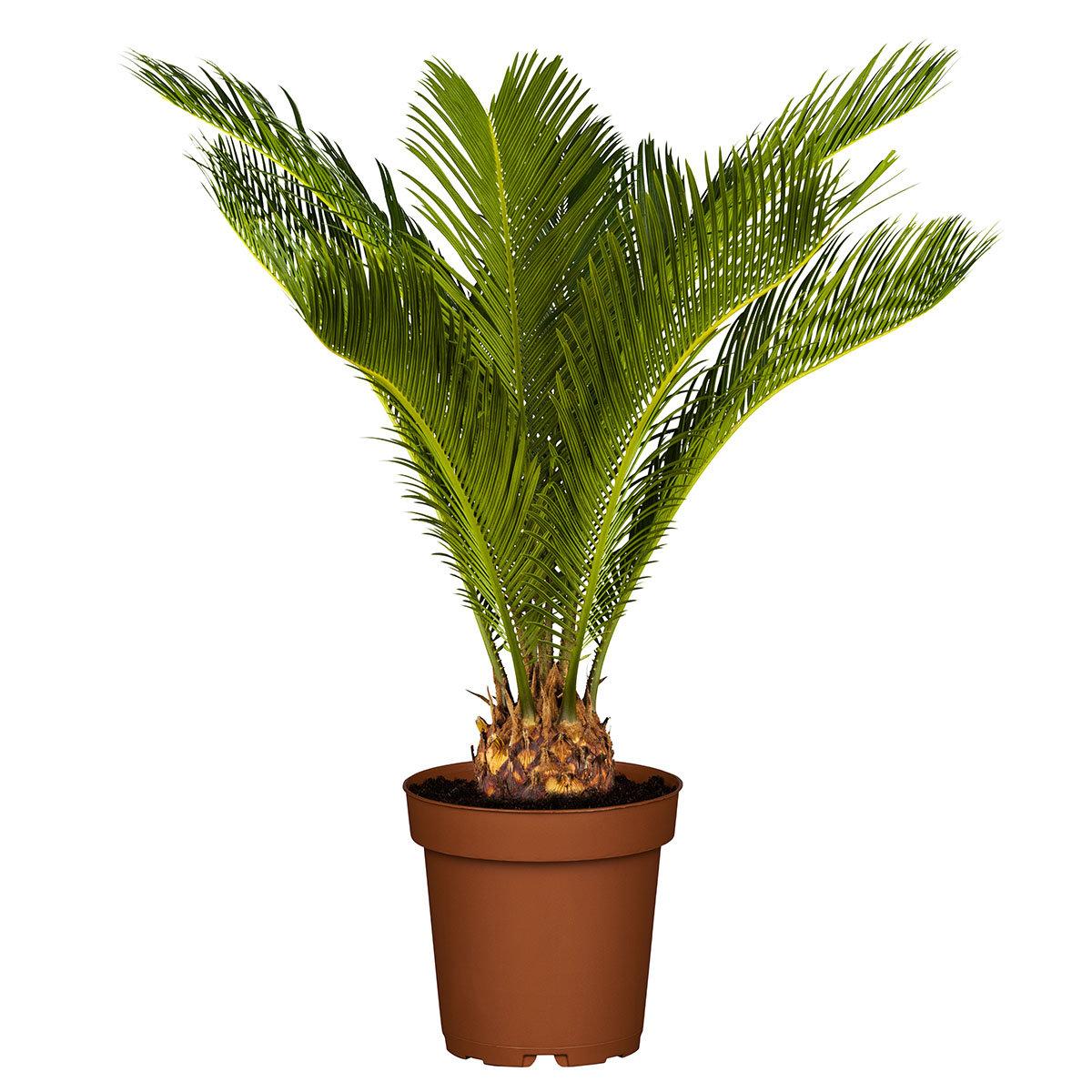 Palmfarn, im ca. 18 cm-Topf | #3