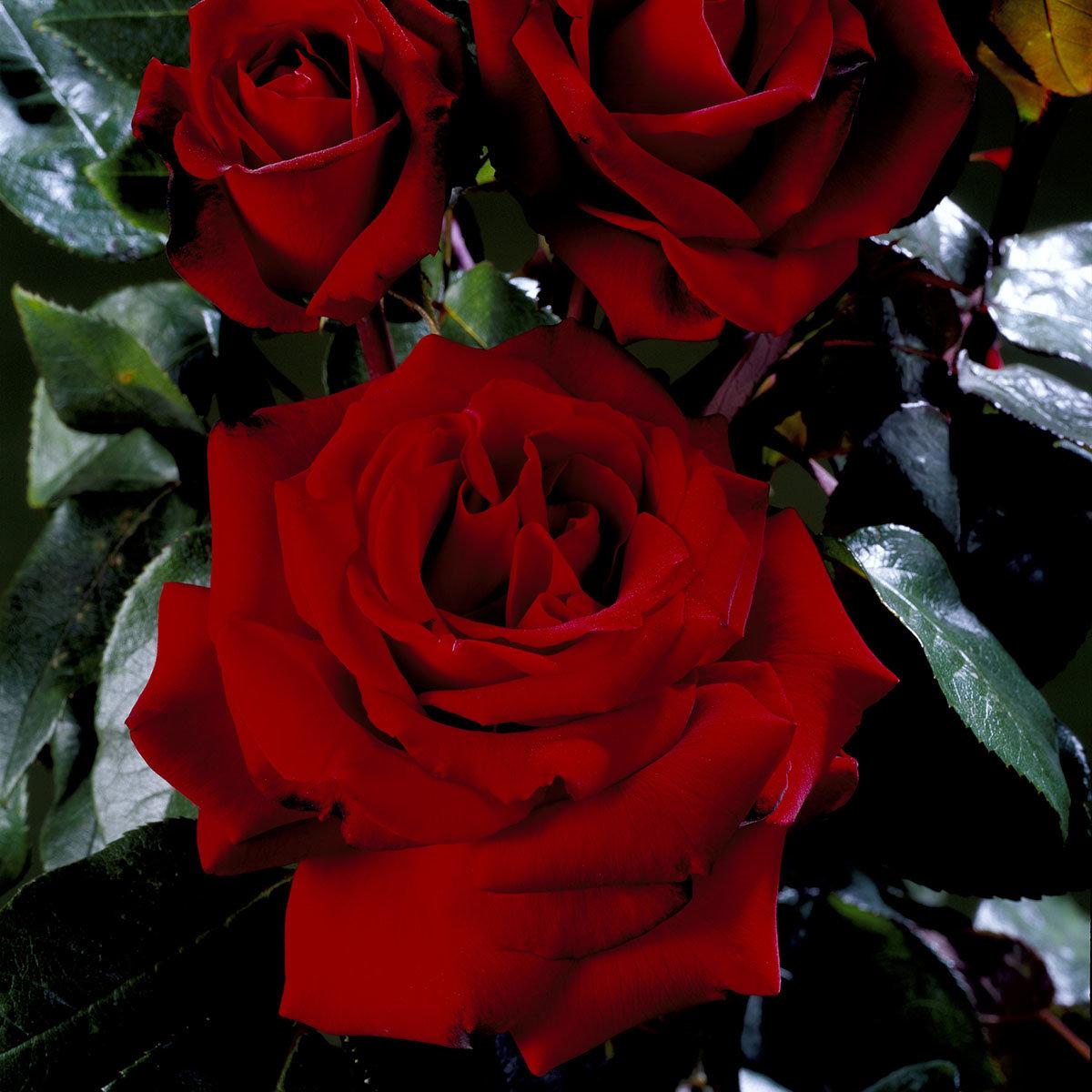 Rose Ingrid Bergmann, im 5-Liter-Topf | #3