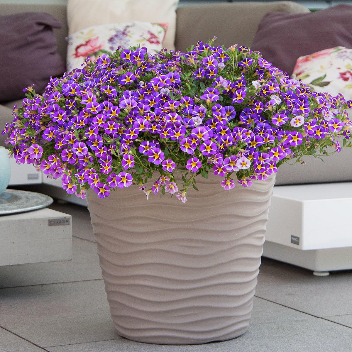 Gesterntes Zauberglöckchen Rave, violett, im ca. 12 cm-Topf | #3