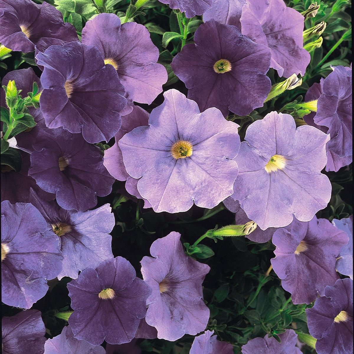 Sommerblumen-Set Bunte Riesen-Petunien AlpeTunia®, 6 Stück, im ca. 12 cm-Topf | #3