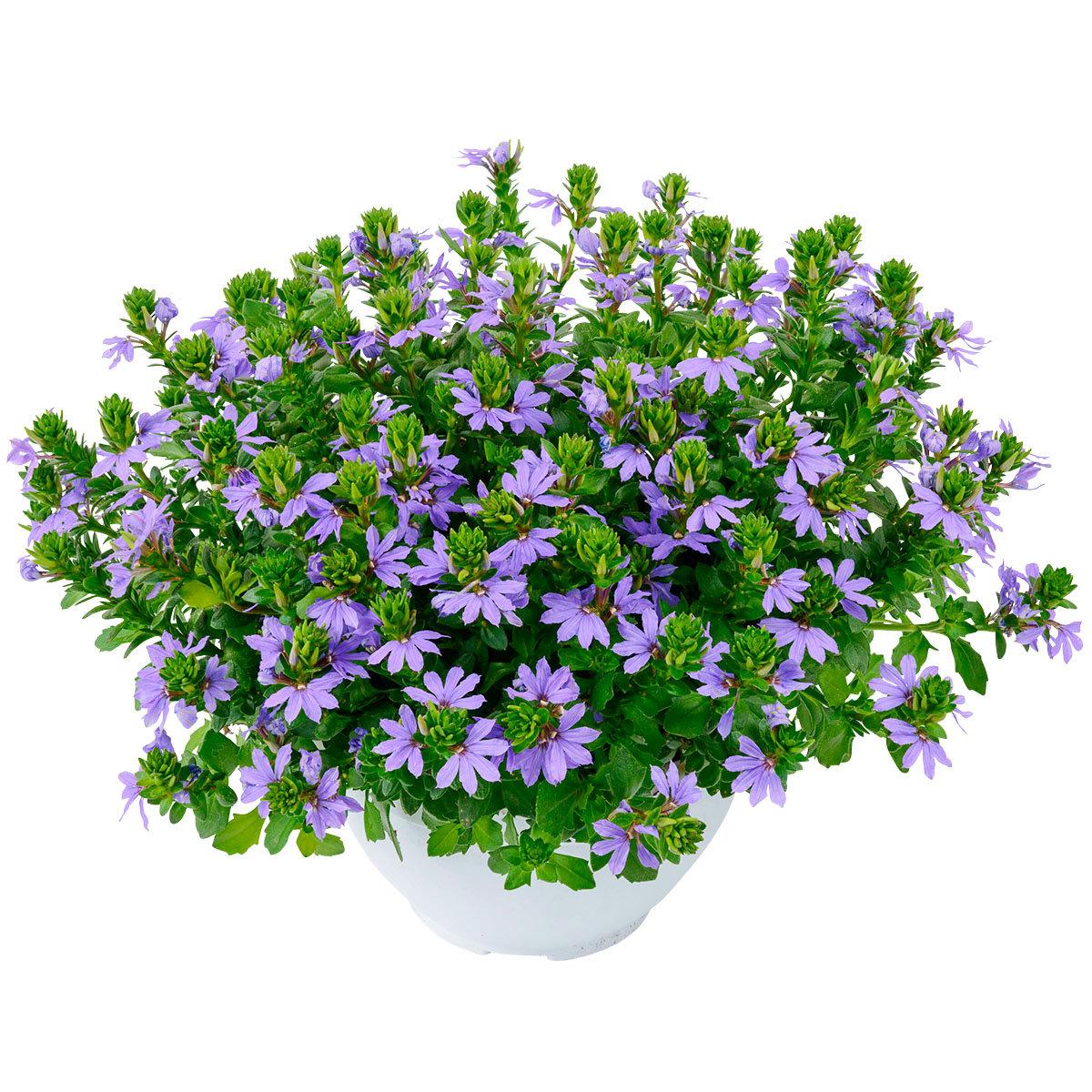 Blaue Facherblume Im Ca 11 Cm Topf Online Kaufen Bei Gartner