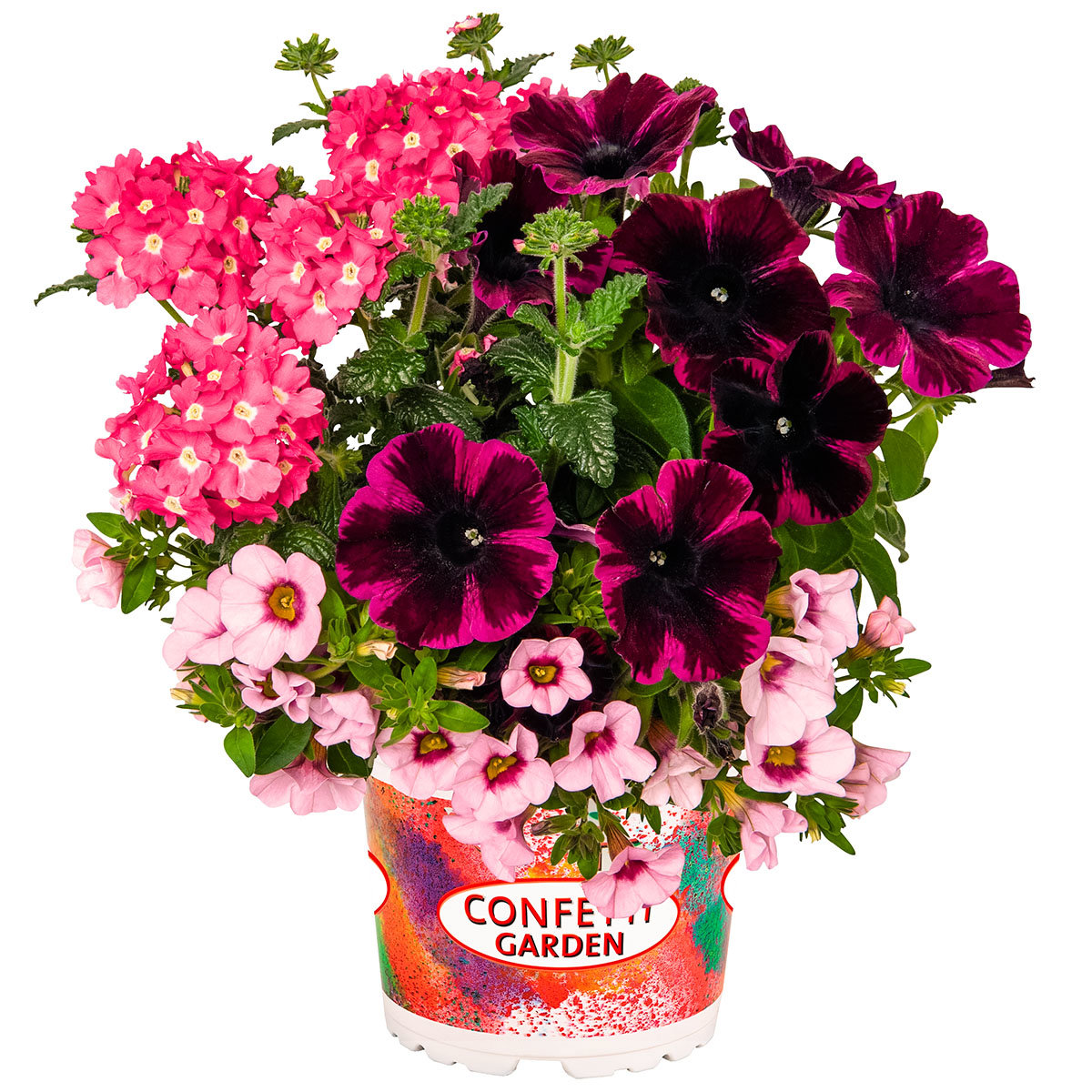 Trio Confetti Garden™ Pirate's Beauty, im ca. 12 cm-Topf | #3