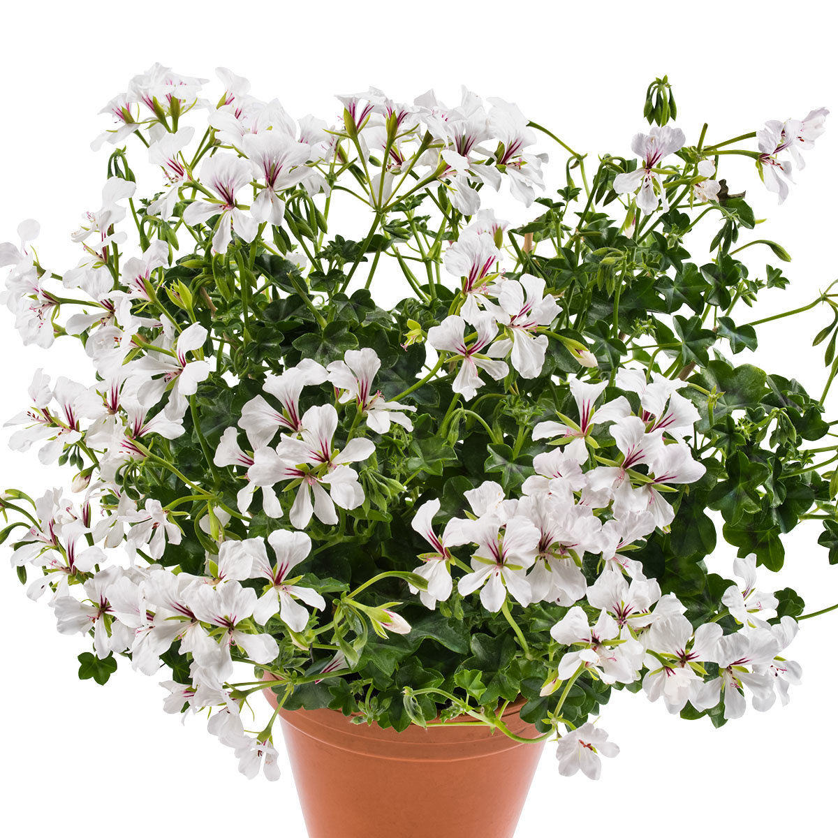 Sommerblumen-Set Hänge-Geranien, 6 Stück, im ca. 12 cm-Topf | #3