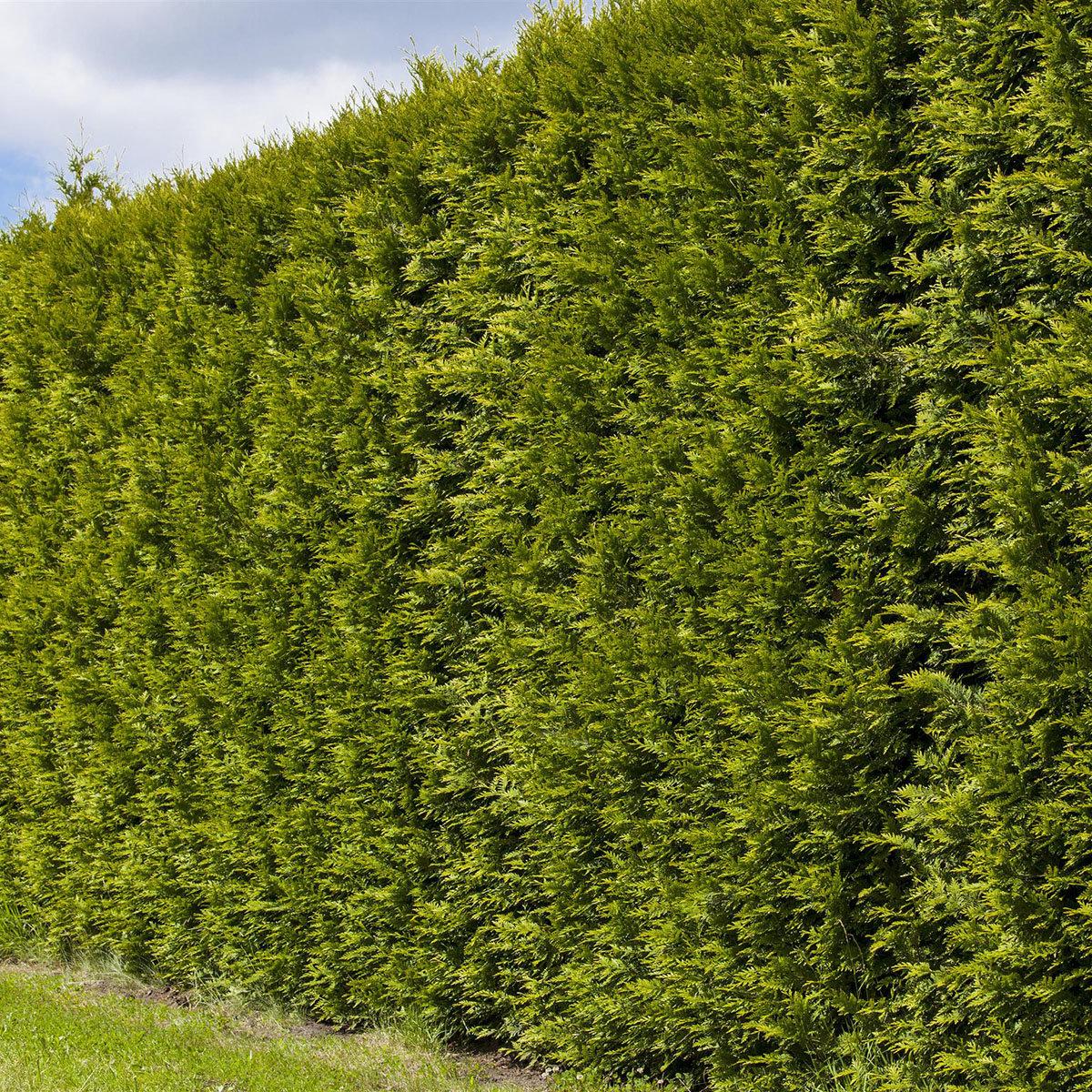 Premium Lebensbaum Smaragd, 120-140 cm   #3