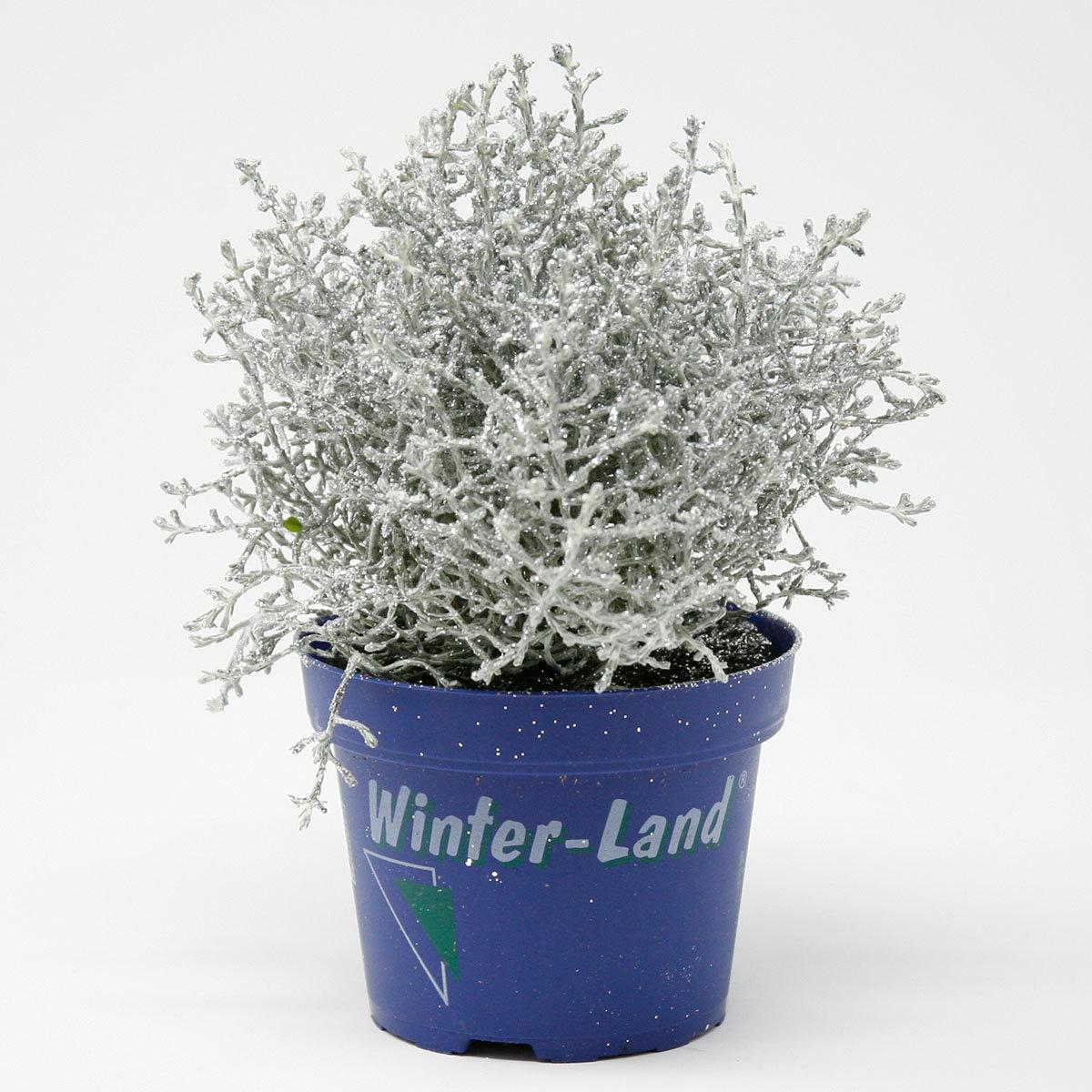 Silber glitzernde Stacheldrahtpflanze   #3