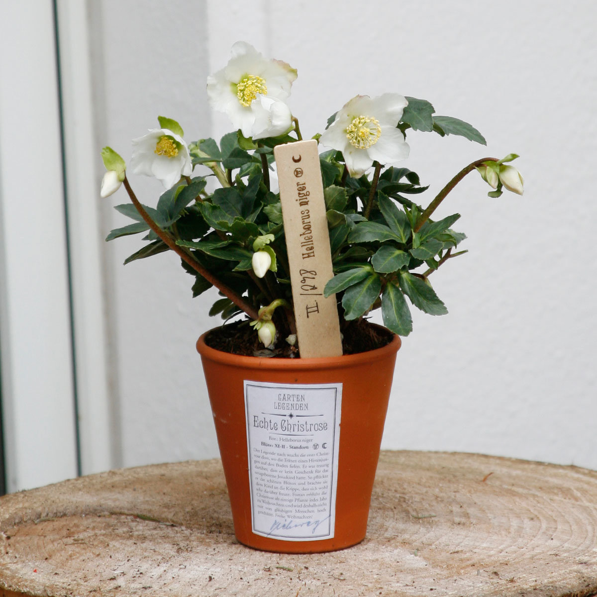 Christrose Gartenlegende, im ca. 12 cm-Topf | #3