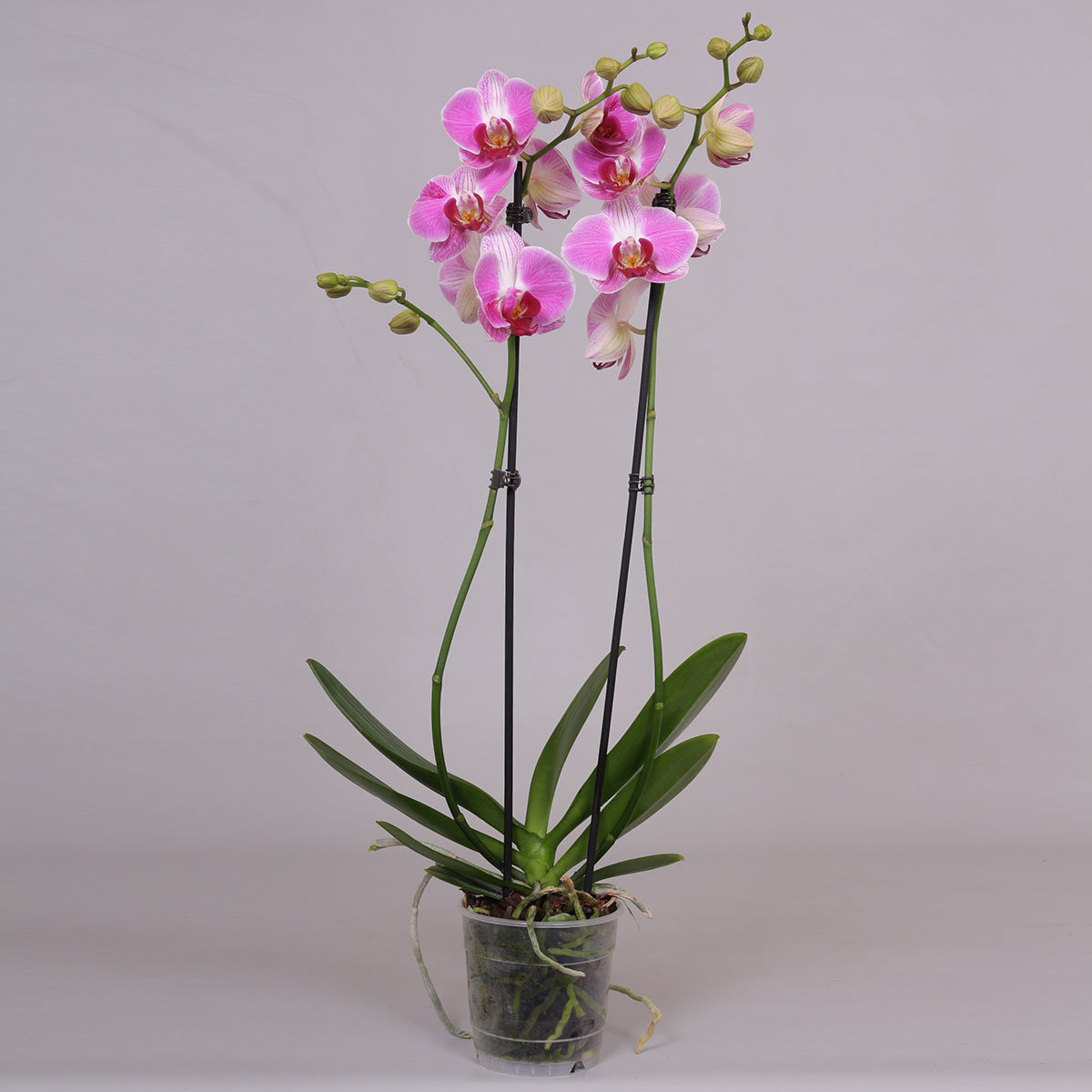 Rosa Schmetterlings-Orchidee, im ca. 12 cm-Topf   #3