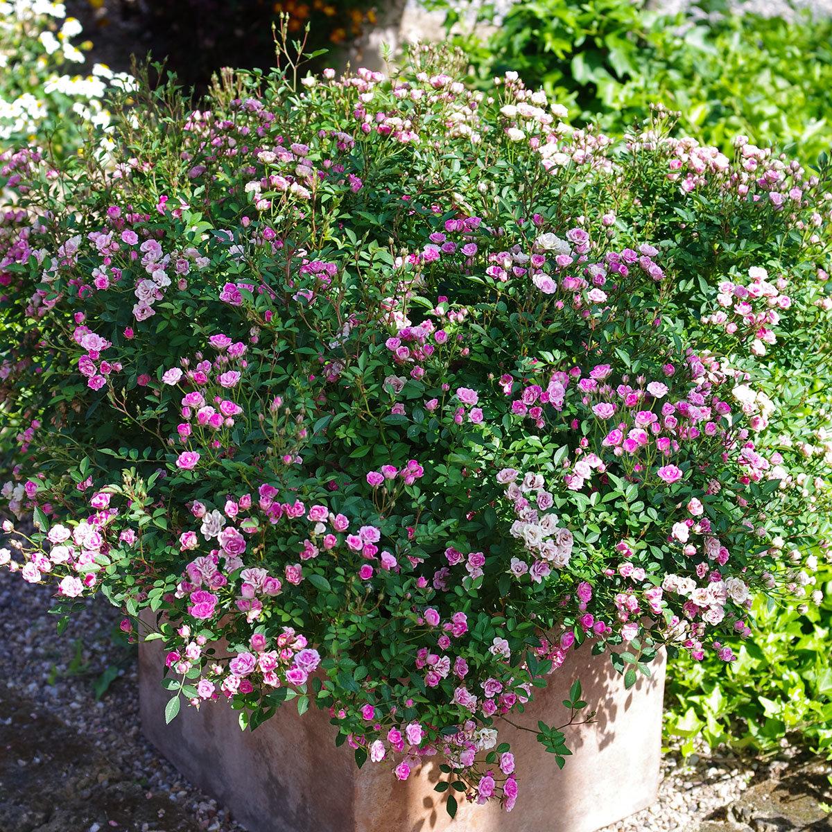 Mini-Rose Lilly Rose™, im ca. 12 cm-Topf | #3