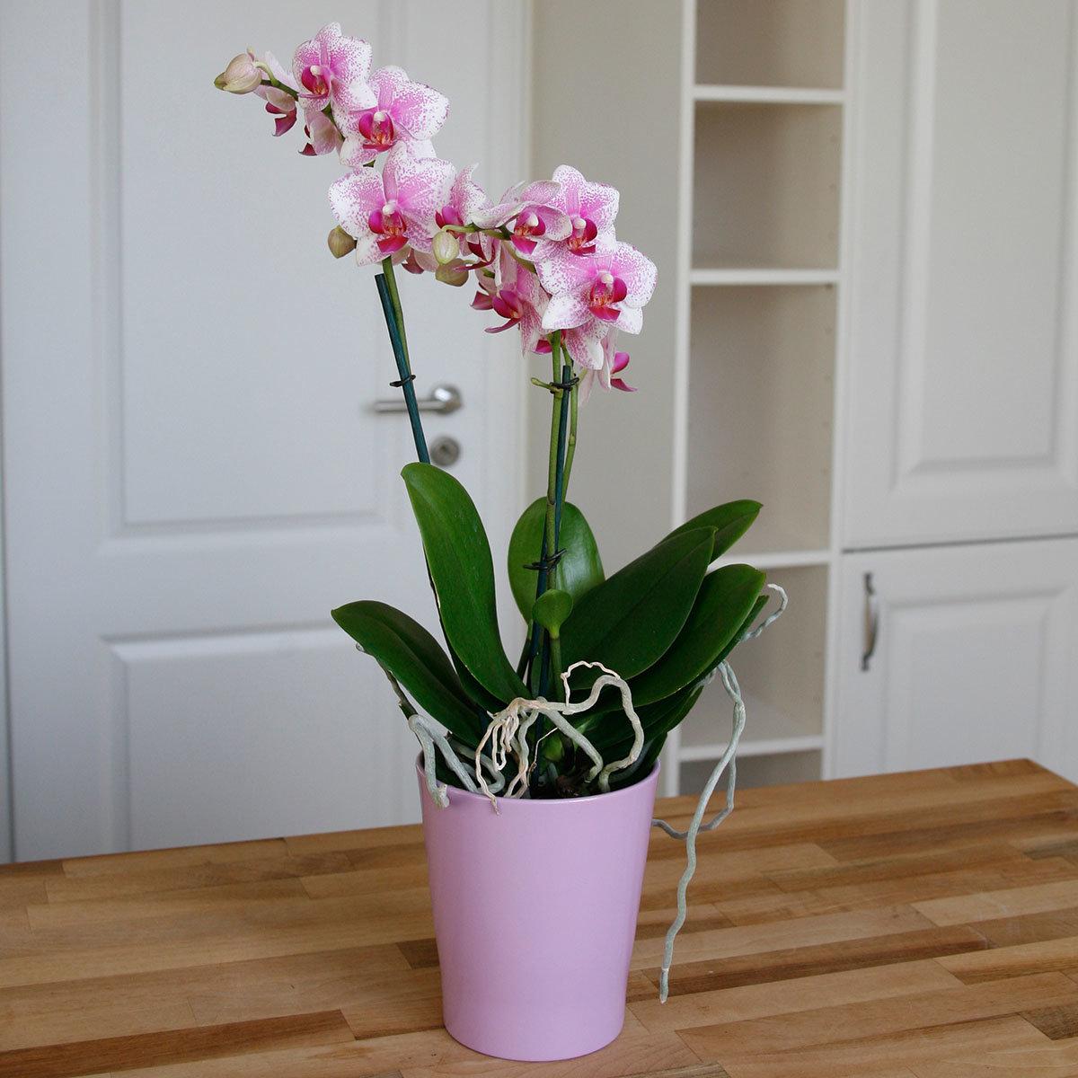 Schmetterlings-Orchidee Rotterdam, im ca. 12 cm-Topf   #3
