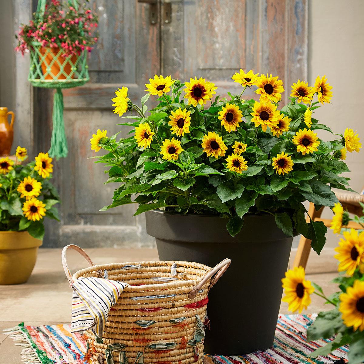 Premium Sonnenblume SunBelievable™, im ca. 13 cm-Topf | #3