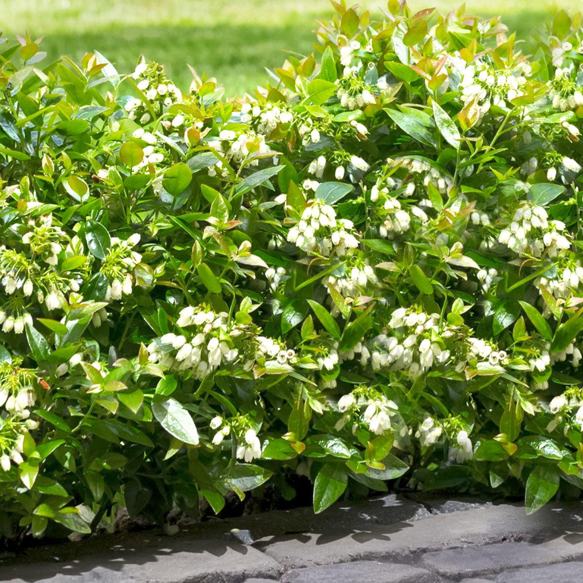 Heidelbeere BrazelBerry® Berry Bux® - Laufender Meter, 6 Pflanzen, im ca. 11 cm-Topf | #3