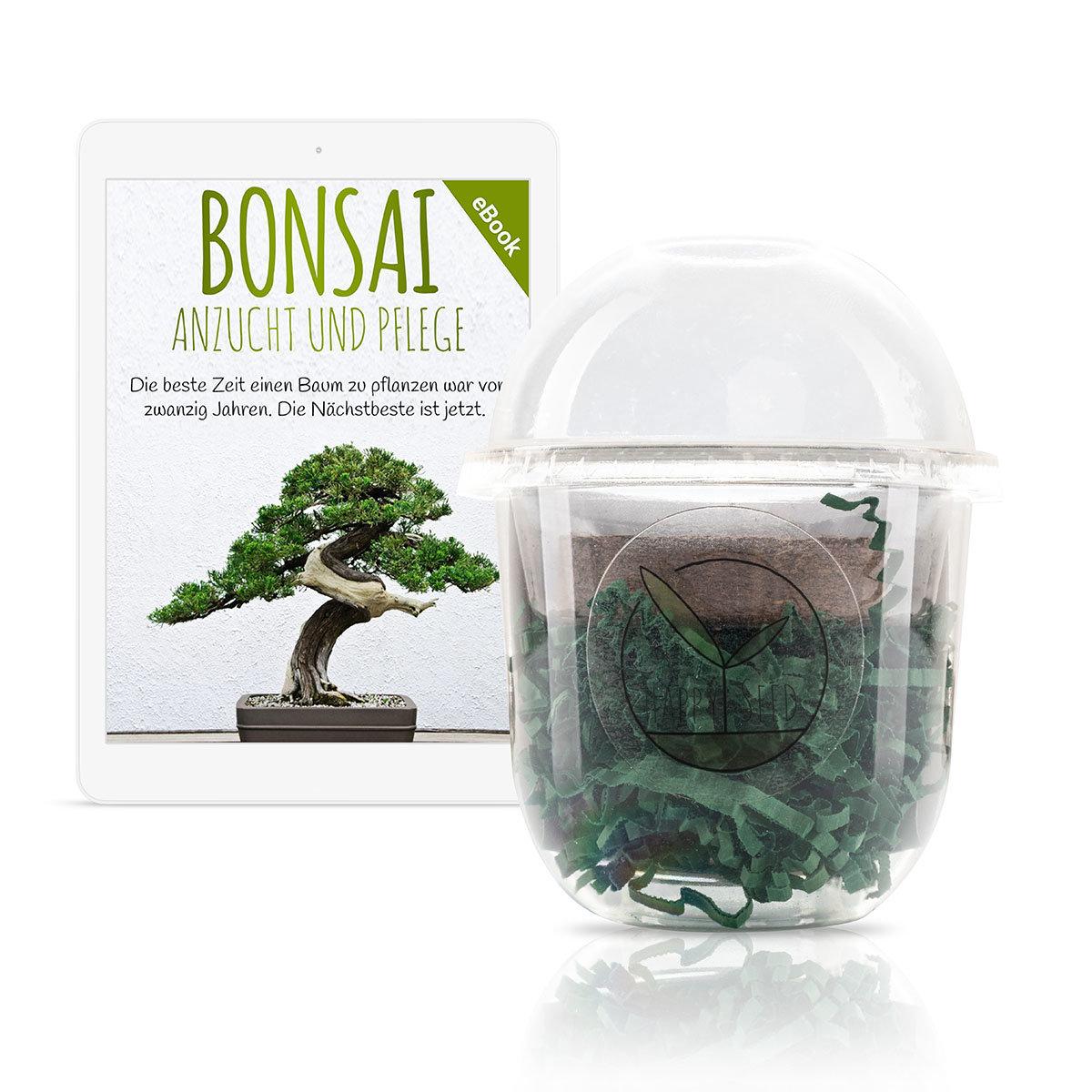 Bonsai Starter Kit Afrikanischer Blauregen Grow2Go | #3
