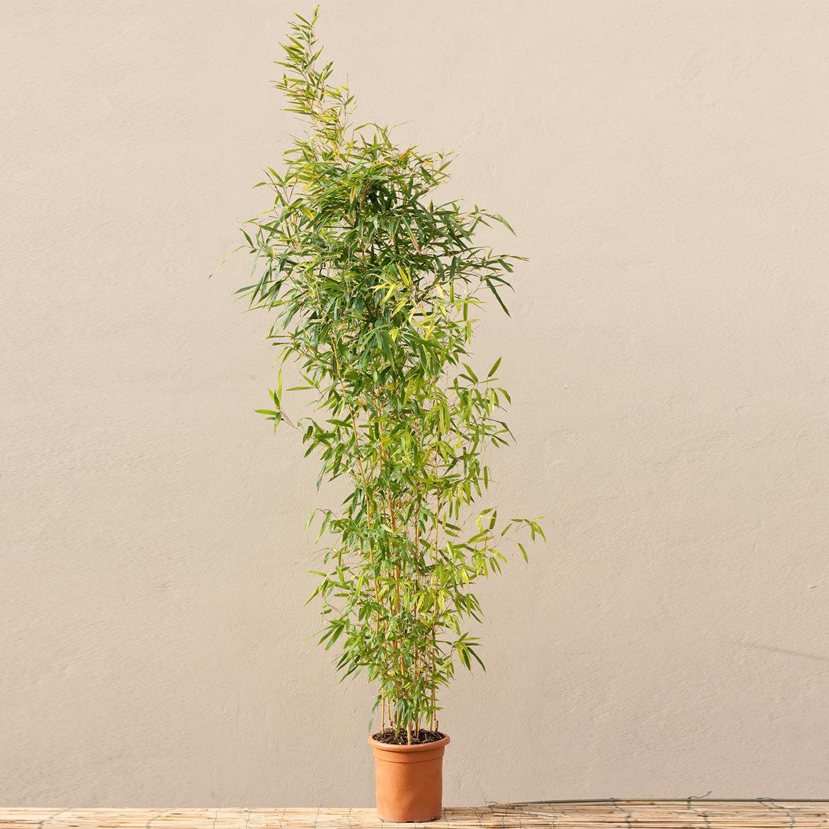 Bambus Aureocaulis, im ca. 28 cm-Topf | #3
