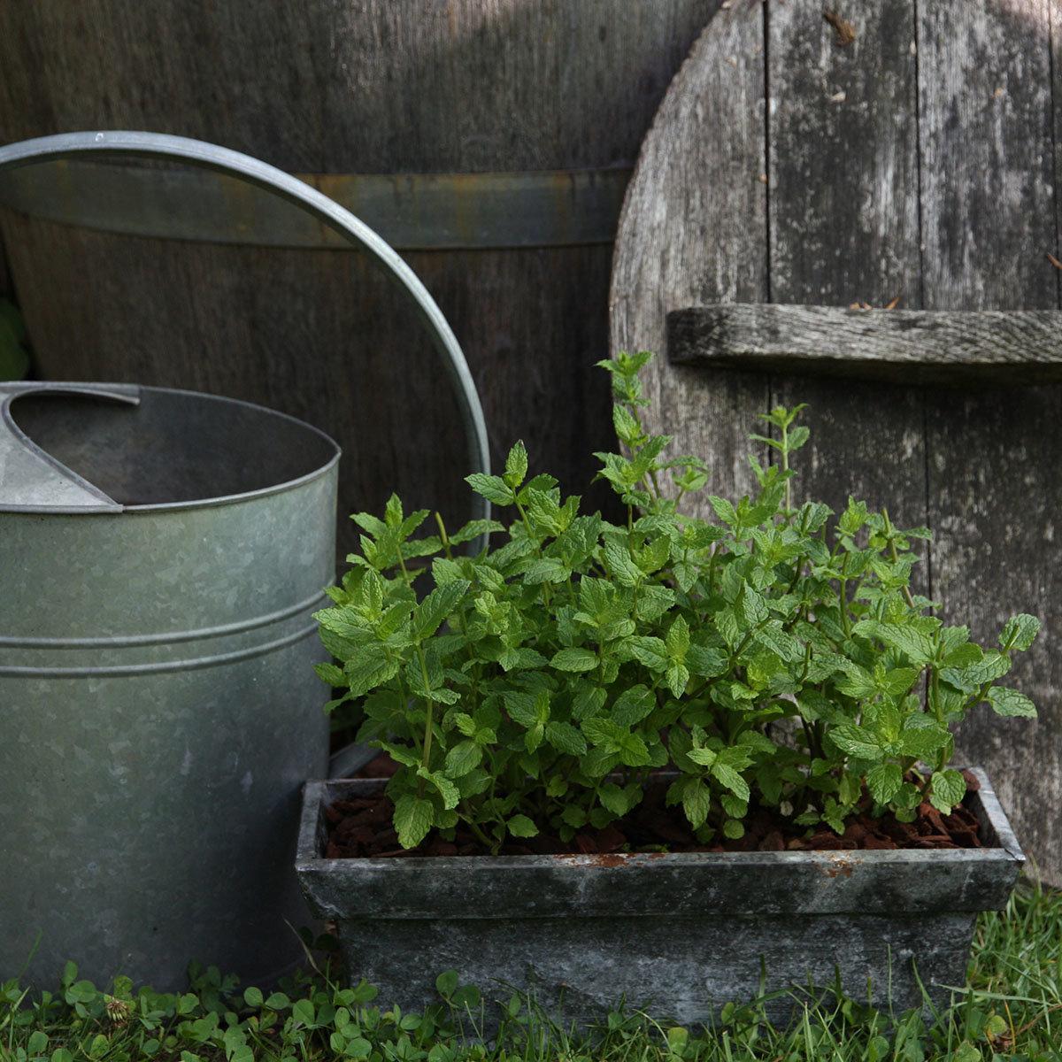 Kräuterpflanze Hugo-Cocktail-Minze, im ca. 12 cm-Topf | #3