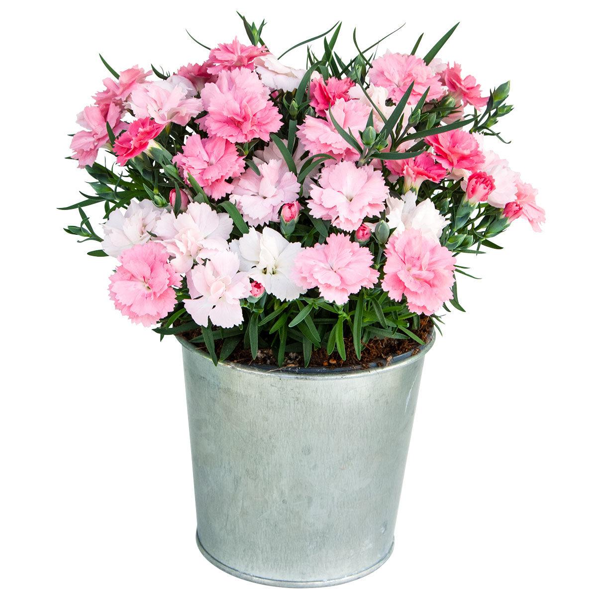 Federnelke, rosa-weiß, im ca. 9 cm-Topf | #3