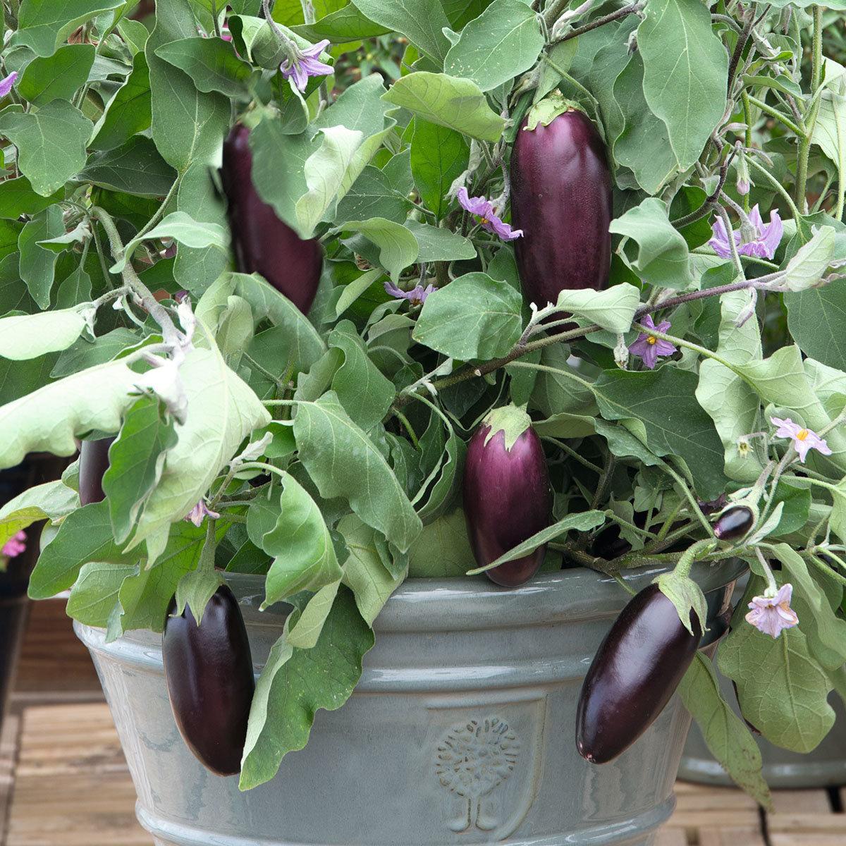 Mini-Auberginenpflanze Diamond Purple, veredelt, im ca. 13 cm-Topf   #3
