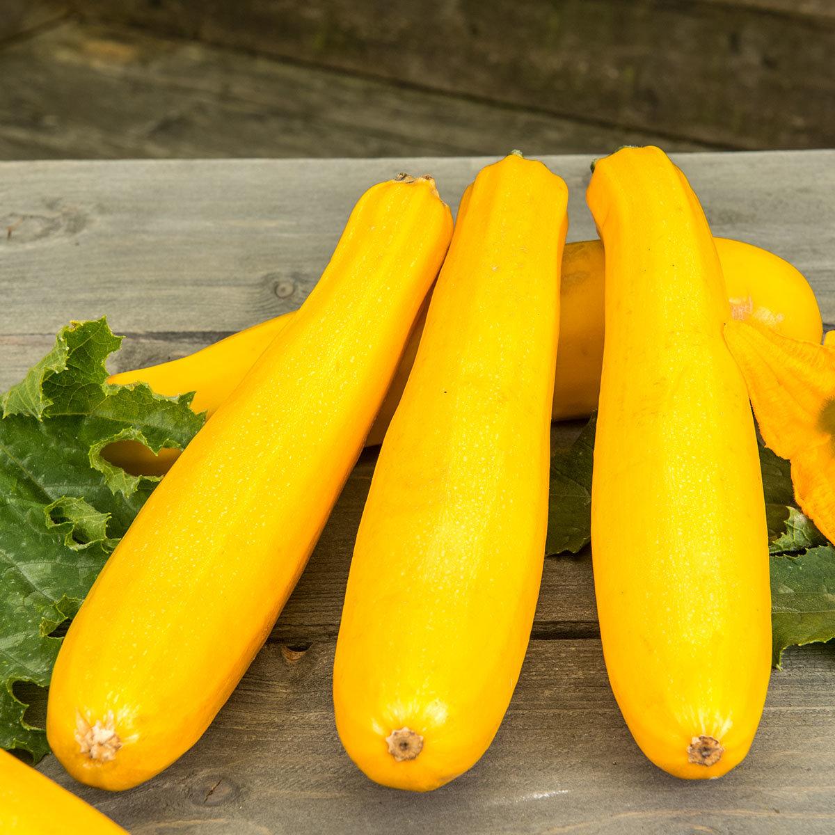 Zucchinipflanze Ola Gabriella, im ca. 11 cm-Topf | #3