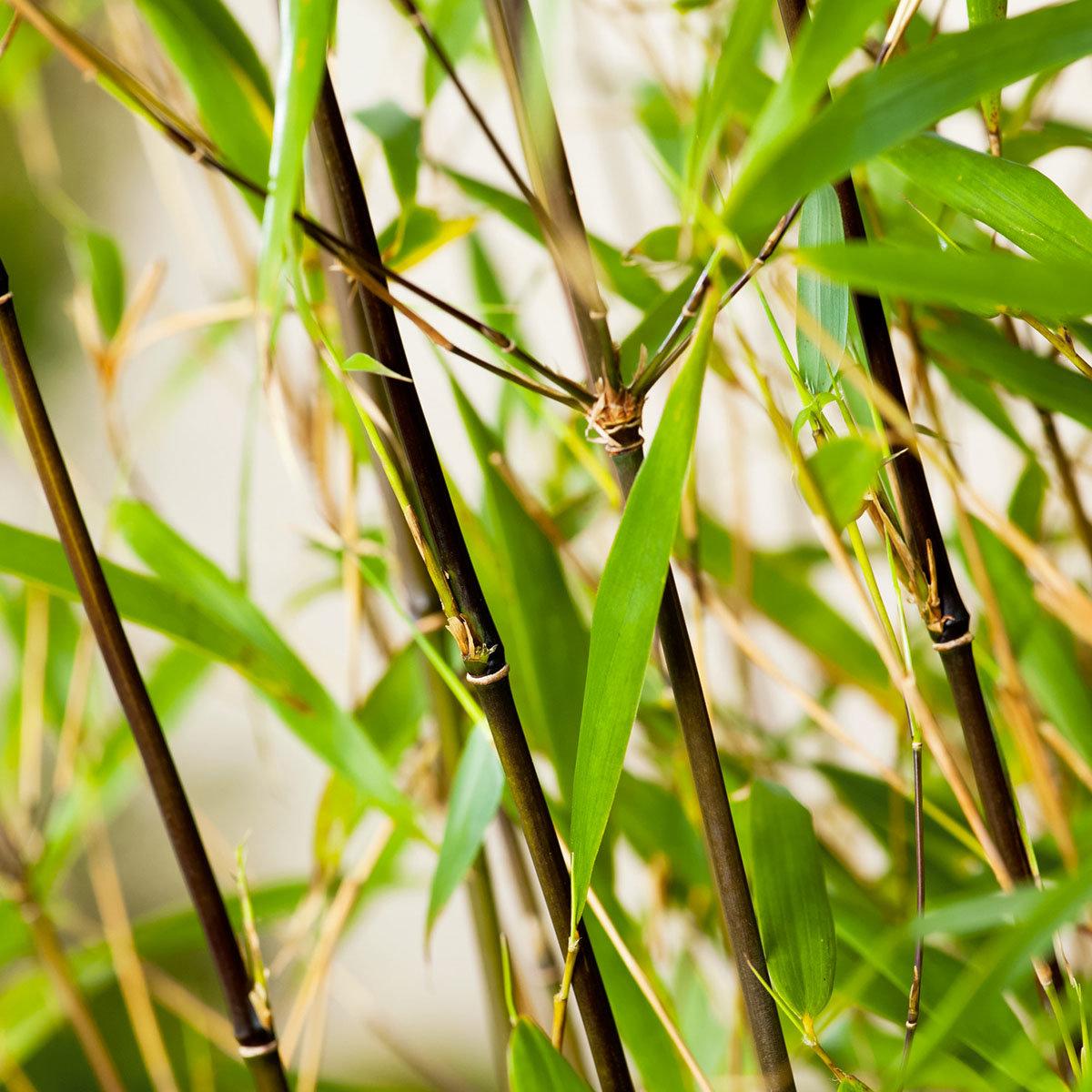 Bambus Asian Wonder, im ca. 23 cm-Topf   #3