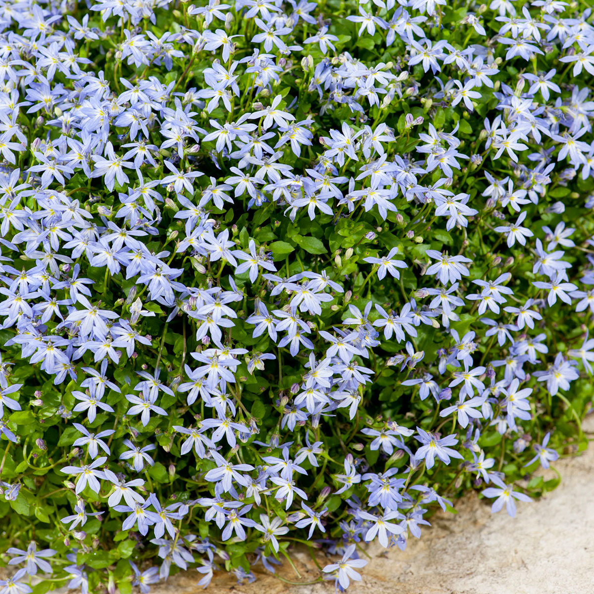 Blauer Bubikopf,  im ca. 11 cm-Topf | #3