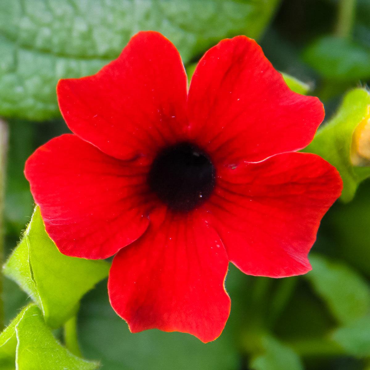 Rote Schwarzäugige Susanne, im ca. 11 cm-Topf | #3