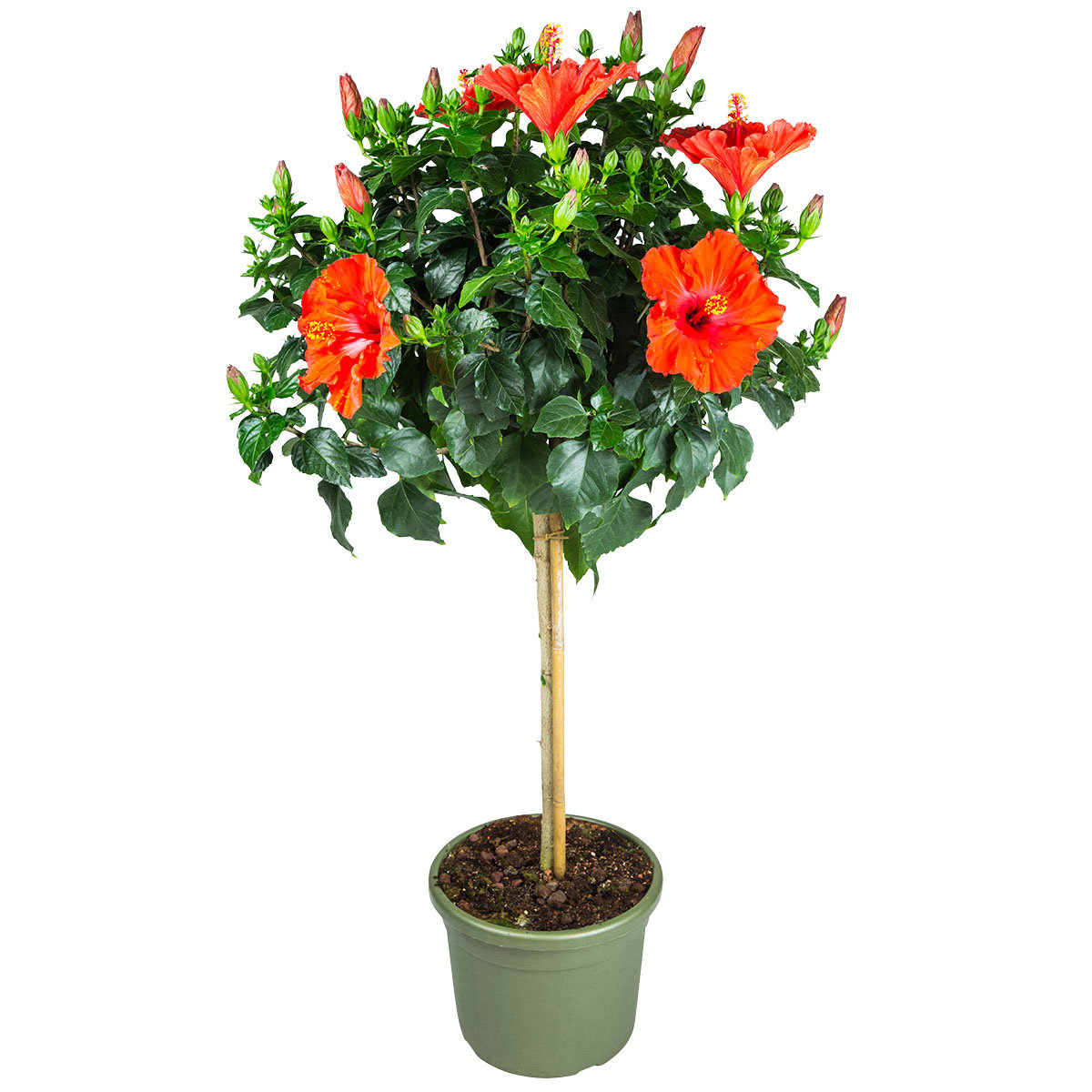 Roter Hibiskus-Stamm, im ca. 19 cm-Topf   #3