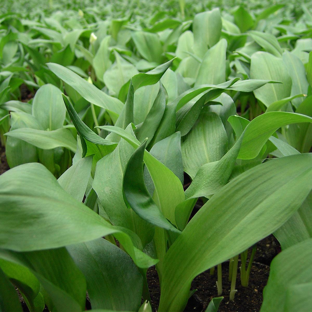 Kräuterpflanze Bärlauch Gismo, im ca. 12 cm-Topf | #3