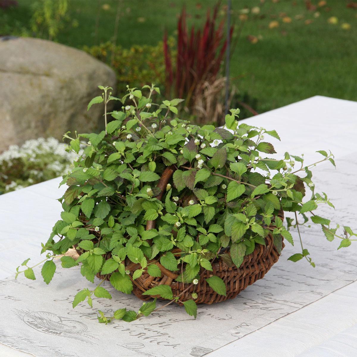 Kräuterpflanze Süsskraut Colada, im ca. 12 cm-Topf | #3