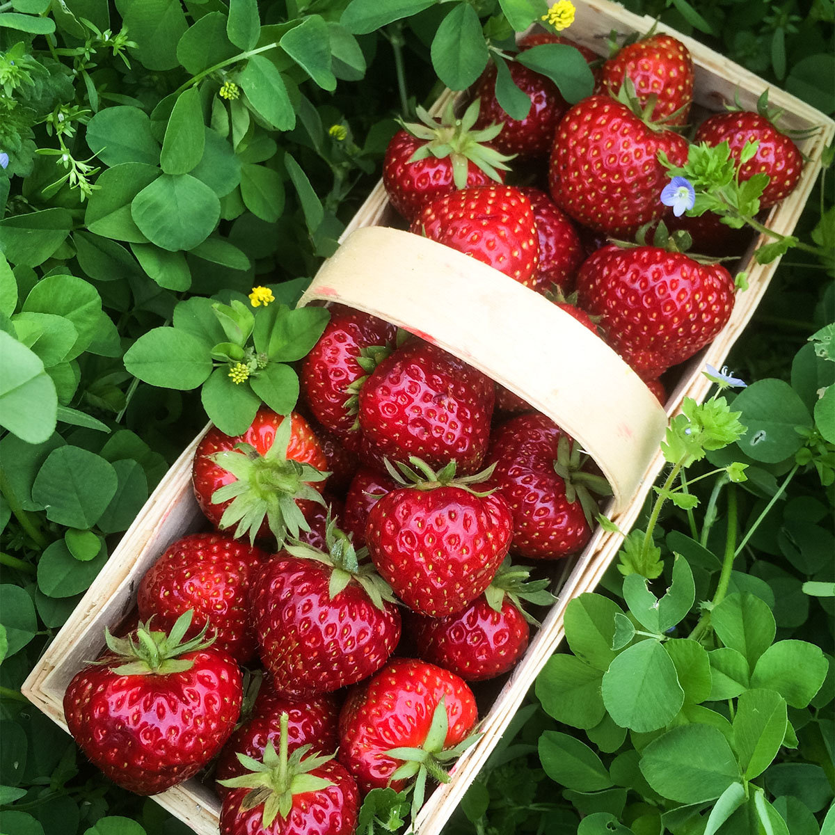 Erdbeere Herzle 12er-Set, im ca. 7 cm-Topf | #3