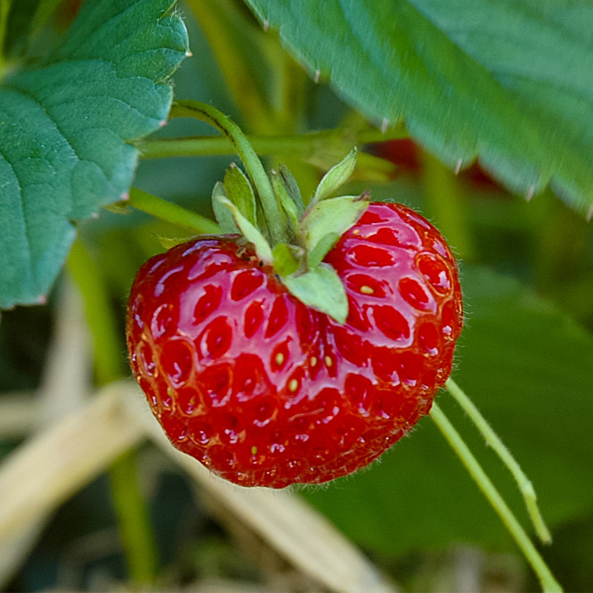 Erdbeere Neue Mieze, Pflanzware 2x6er Tray, im ca. 7 cm Topfballen   #3