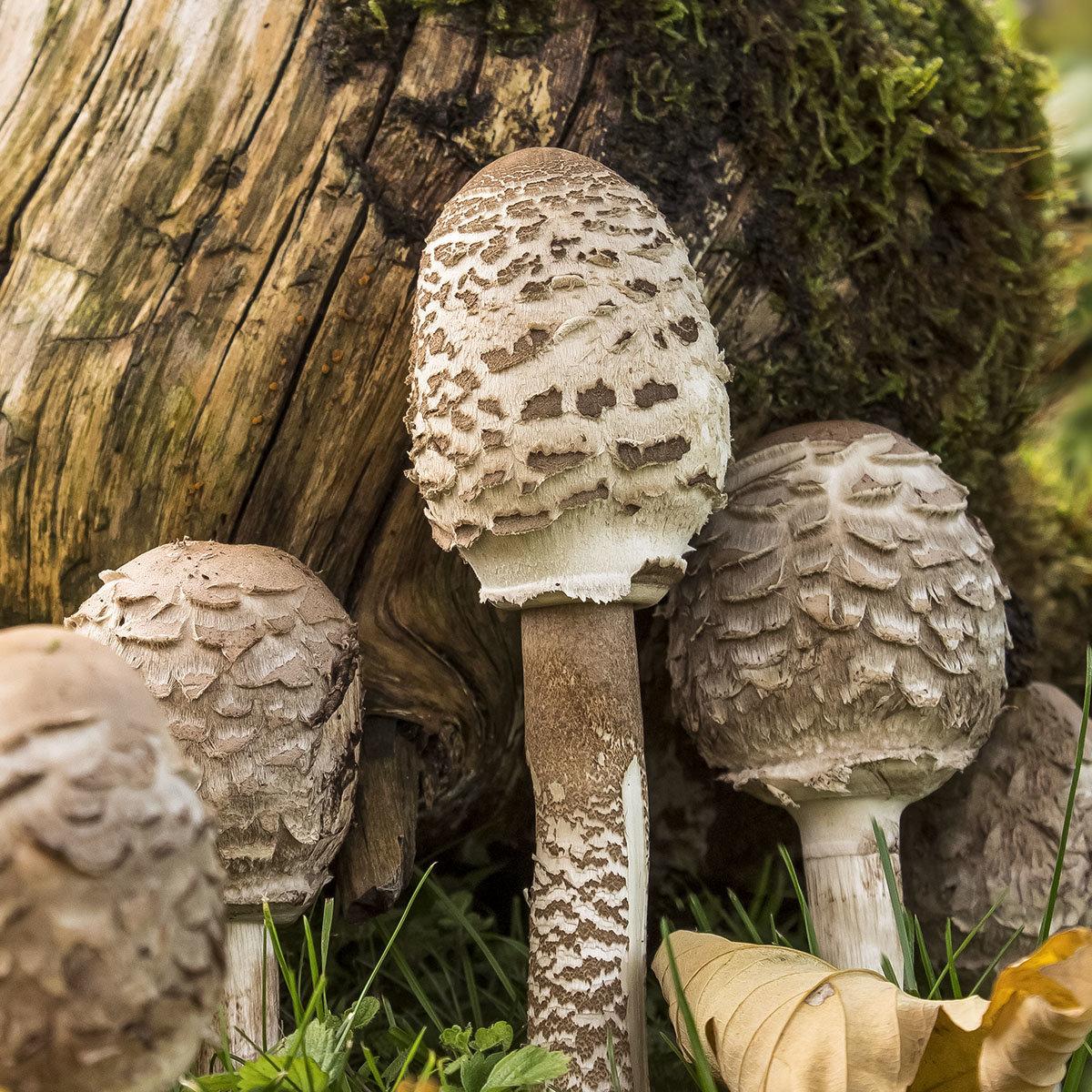 Waldgartenpilzkultur Parasol | #3