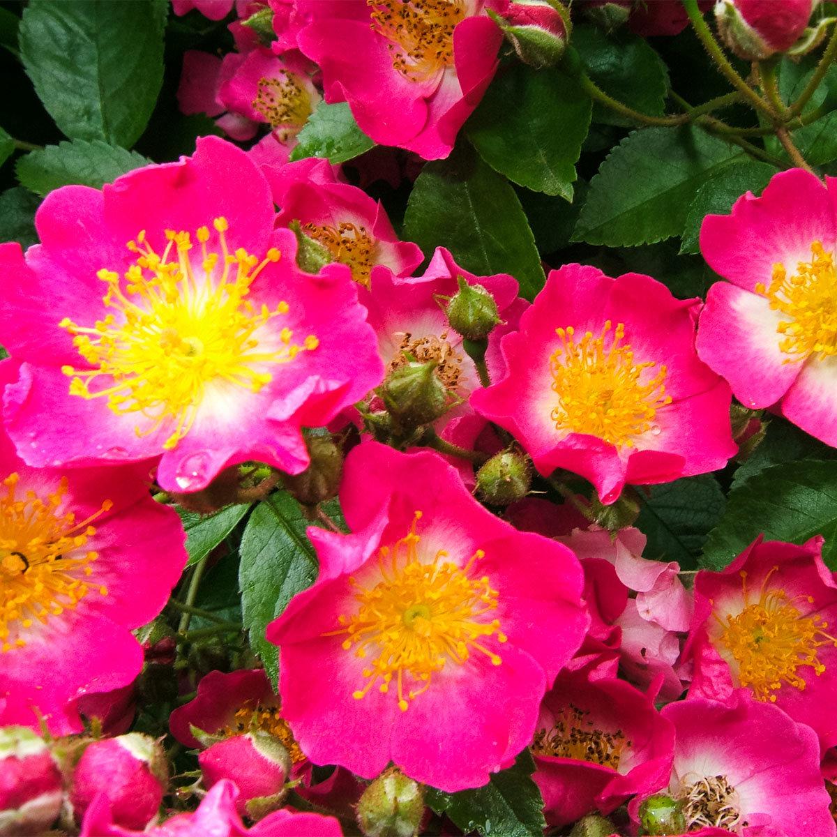 Kletterrose, rosa, im ca. 24 cm-Topf | #3