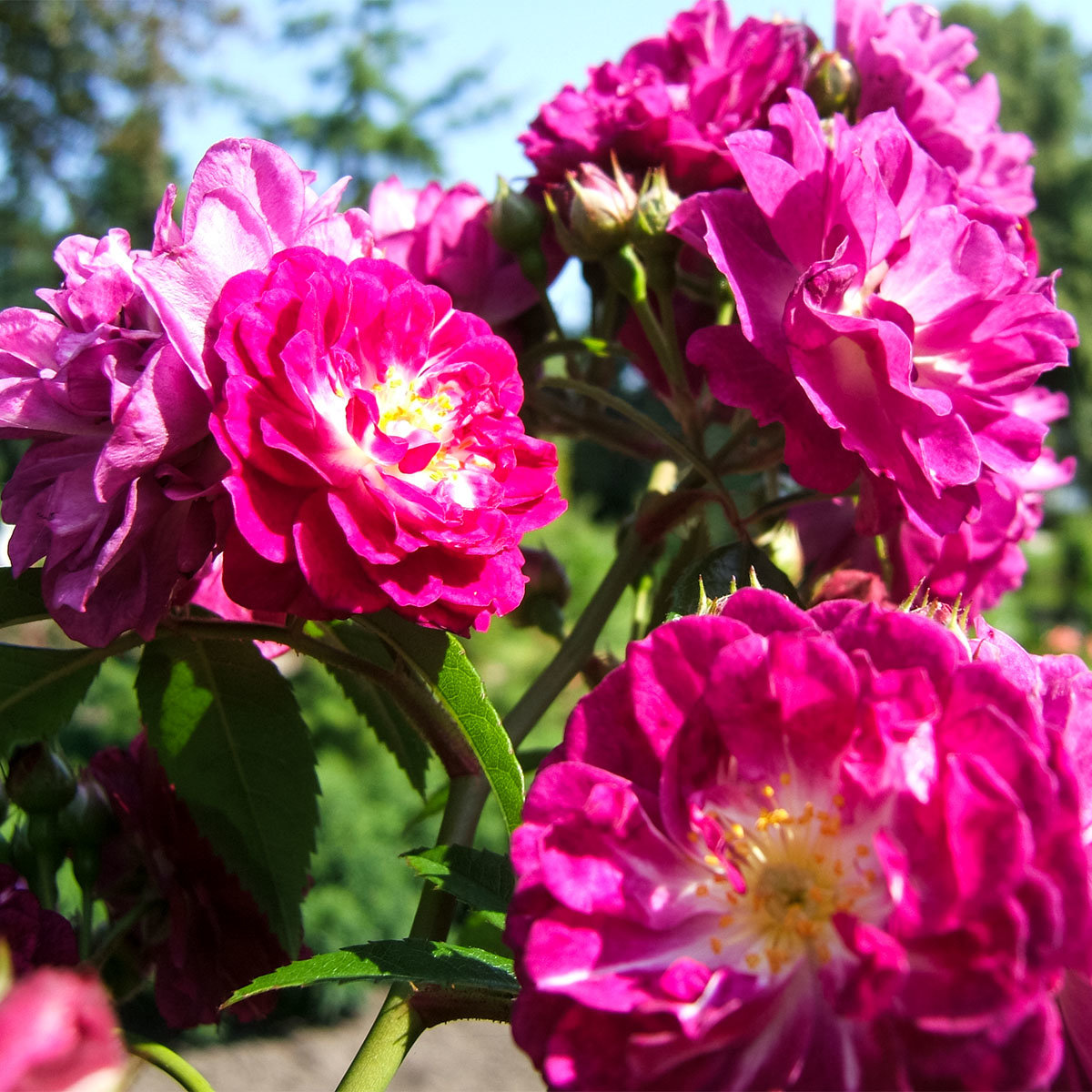 Kletterrose, lila, im ca. 24  cm-Topf | #3