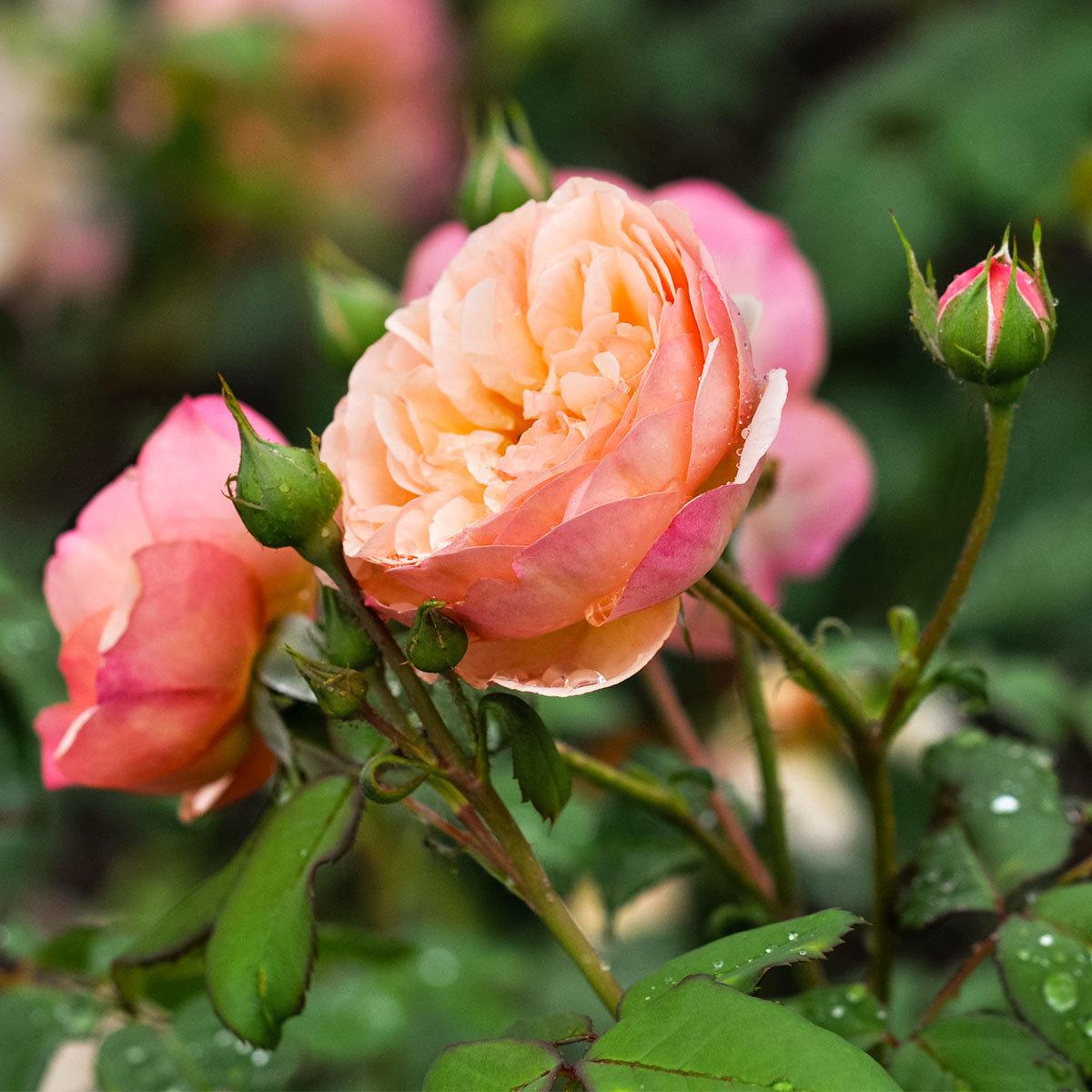 Essbare Culinaric Rose, orange-rosé, im ca. 22 cm-Topf | #3