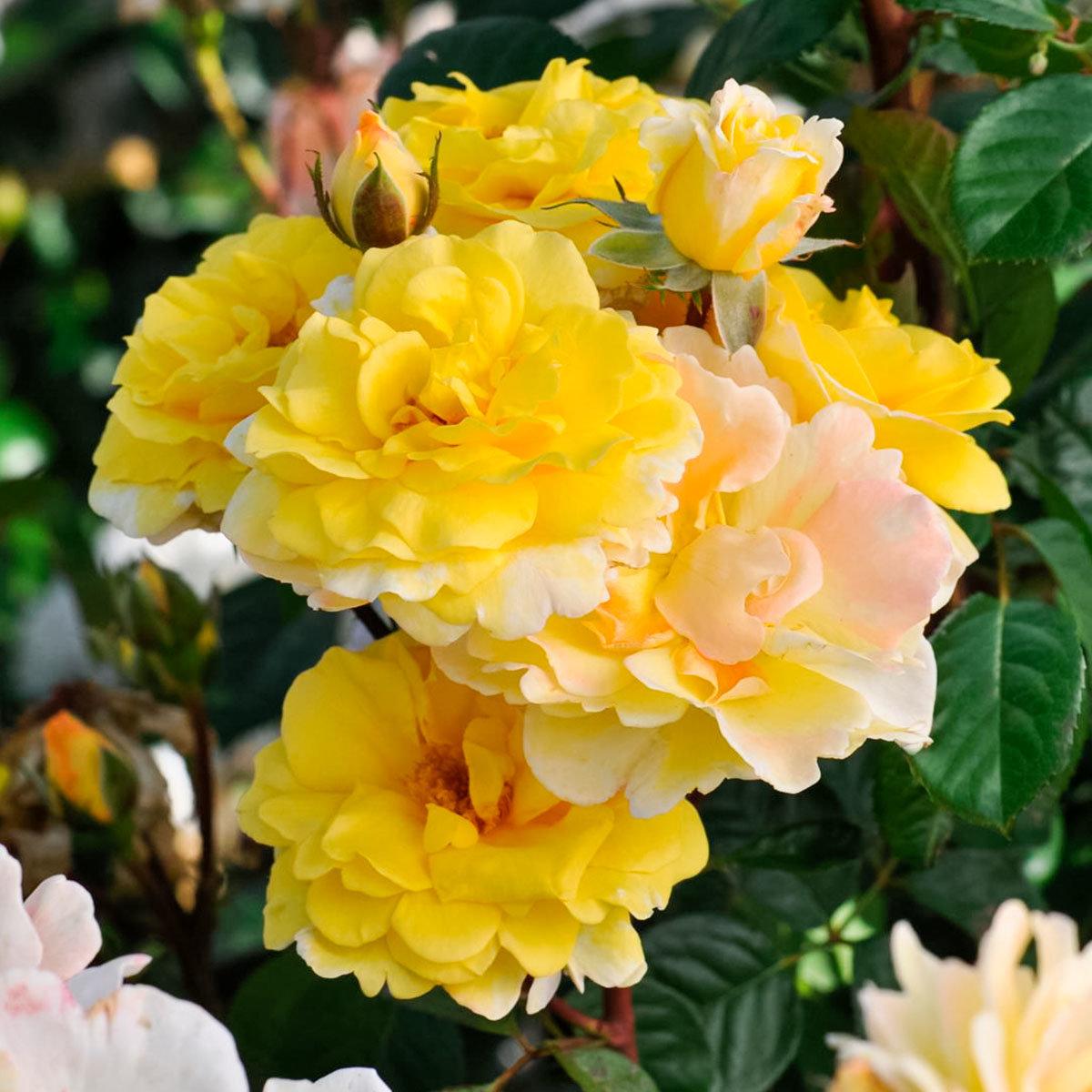 Essbare Culinaric Rose, gold-gelb, im ca. 22 cm-Topf | #3